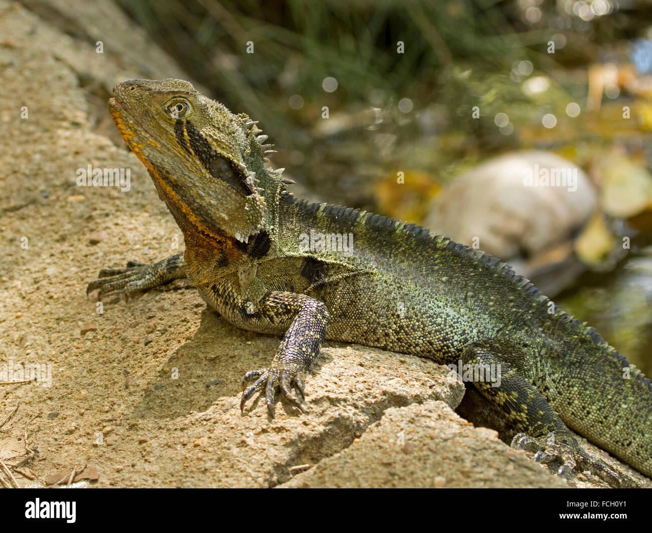 Australian Water Dragon Lizard: Australian Eastern Water Dragon Lizard, Physignathus