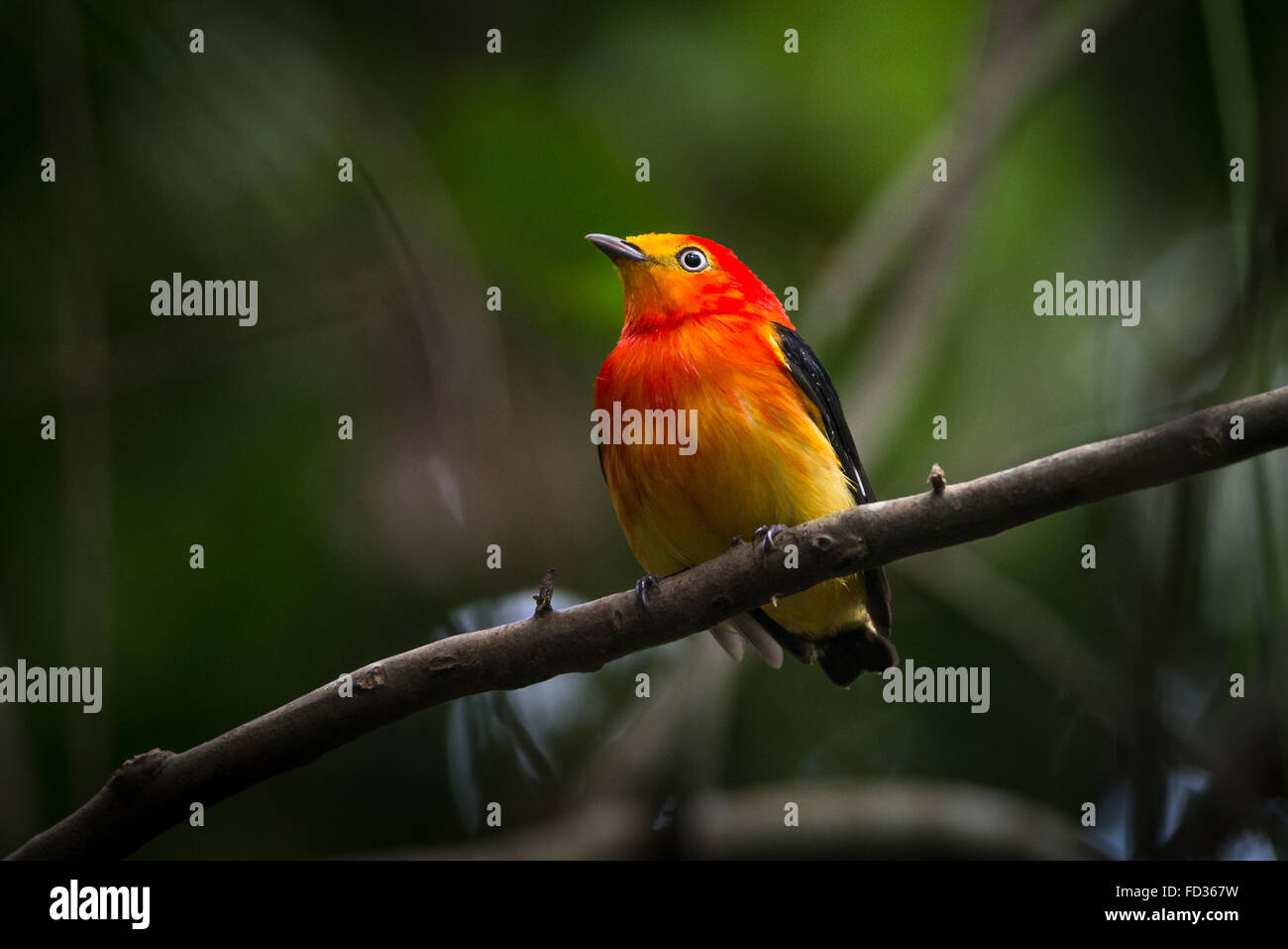 a-band-tailed-manakin-from-the-forests-o