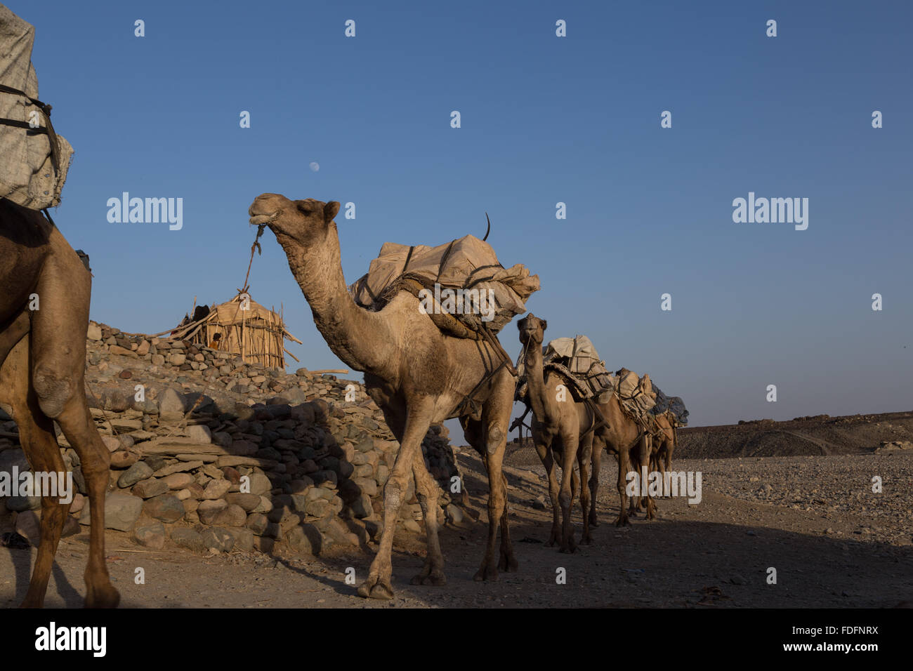 Camels carrying hand-cut tablets of salt arrive in Hamedila from the nearby salt pans as they have done for hundreds Stock Photo