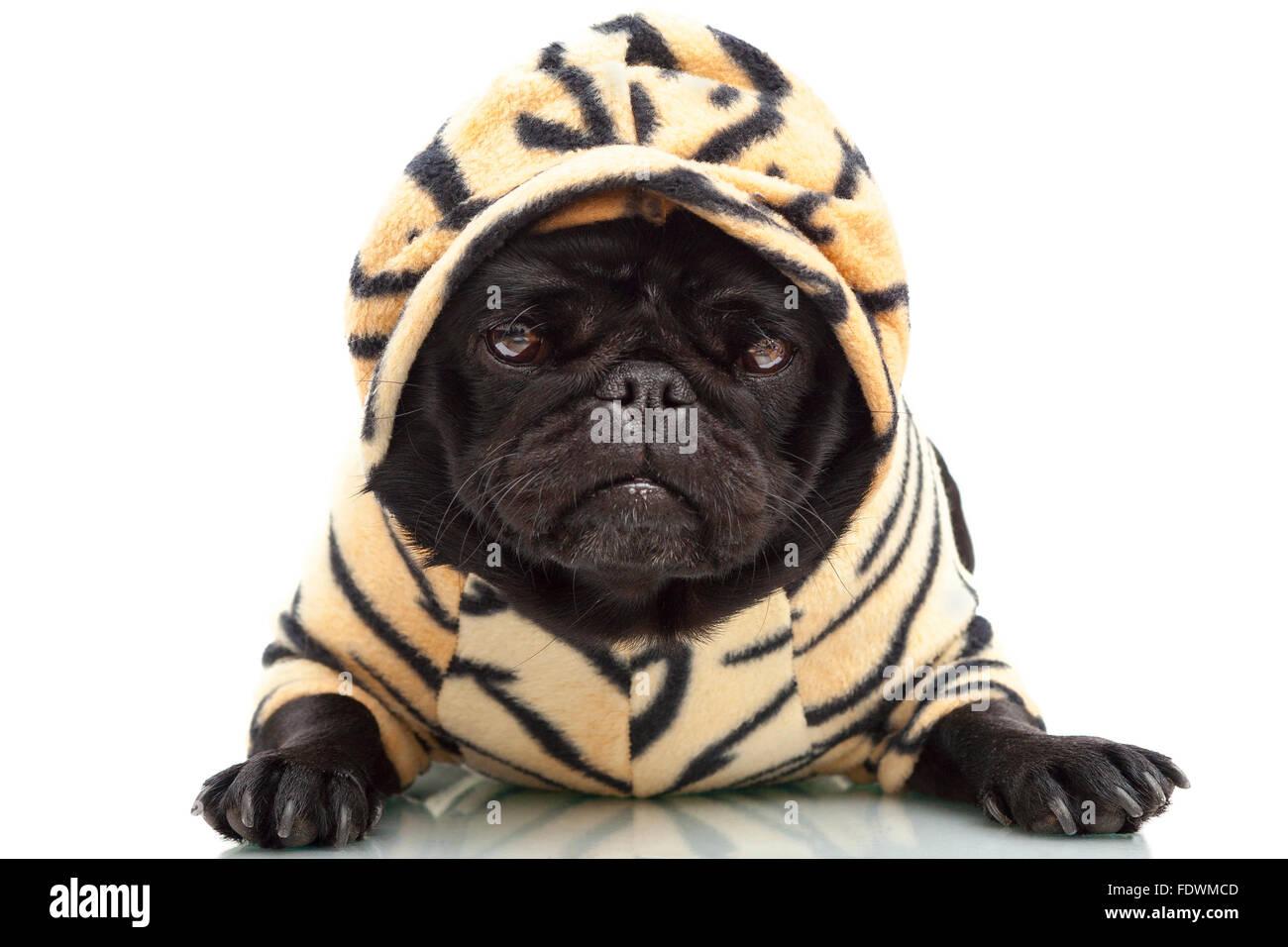 portrait-of-black-pug-puppy-dog-in-tiger