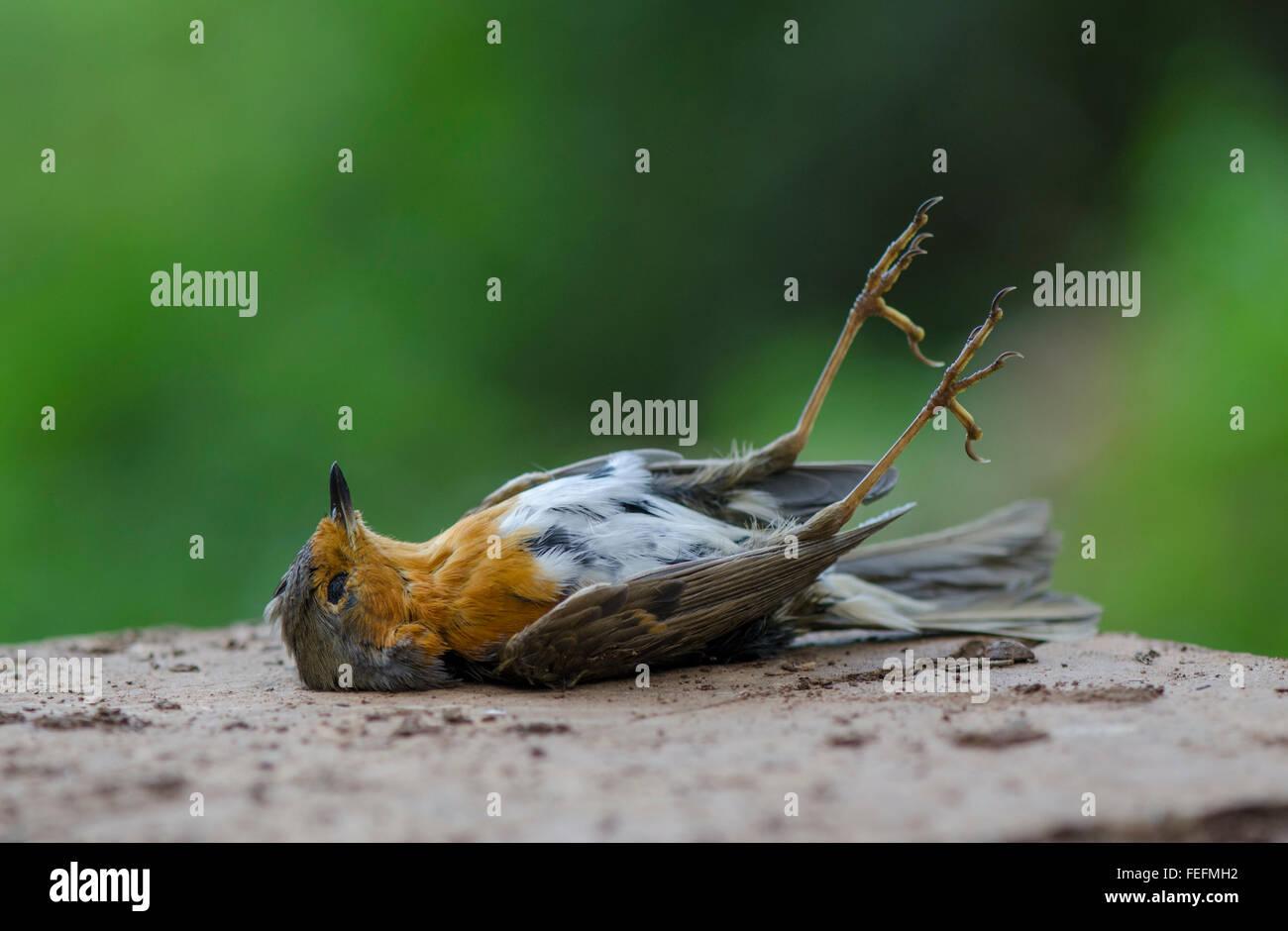 dead-european-robin-erithacus-rubecula-l