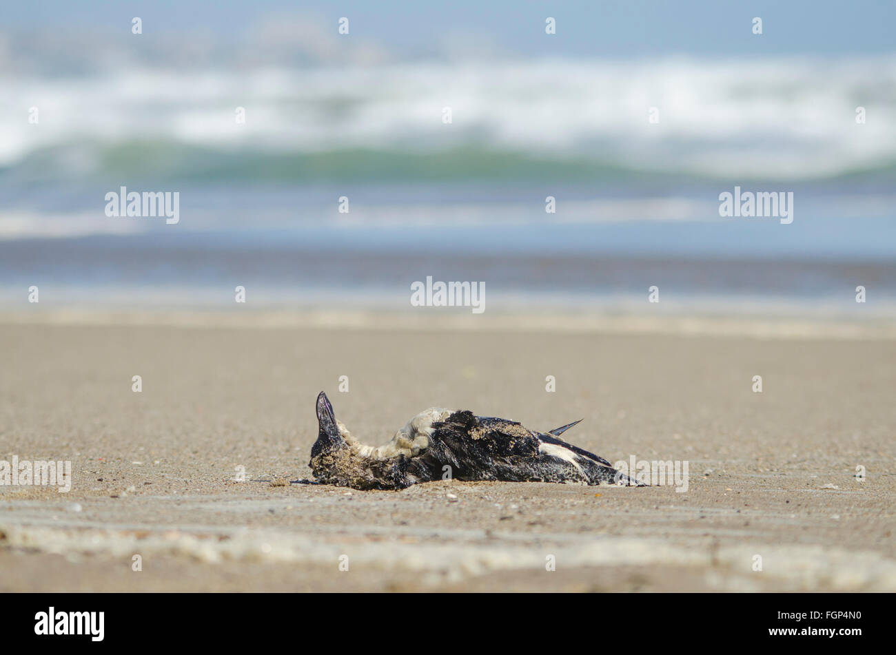 dead-bird-razorbill-alca-torda-lying-on-