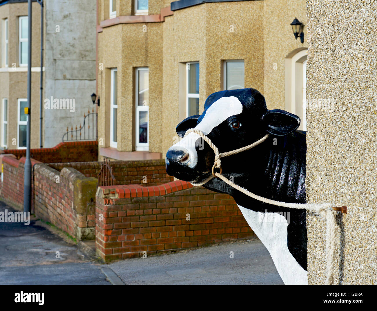tethered-cow-in-seascale-west-cumbria-en