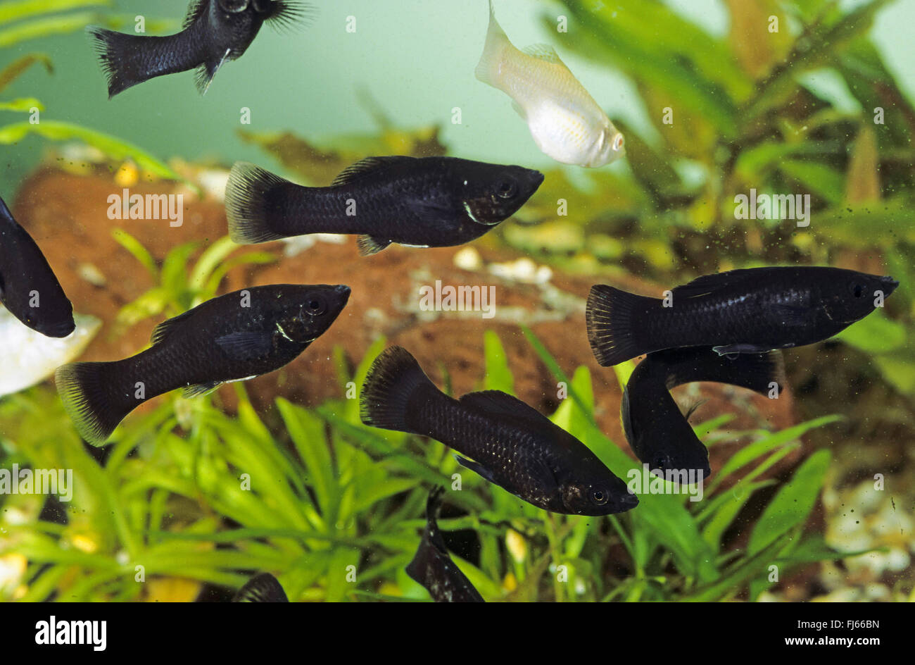 Mexican molly marbled molly liberty molly poecilia for Black molly fish