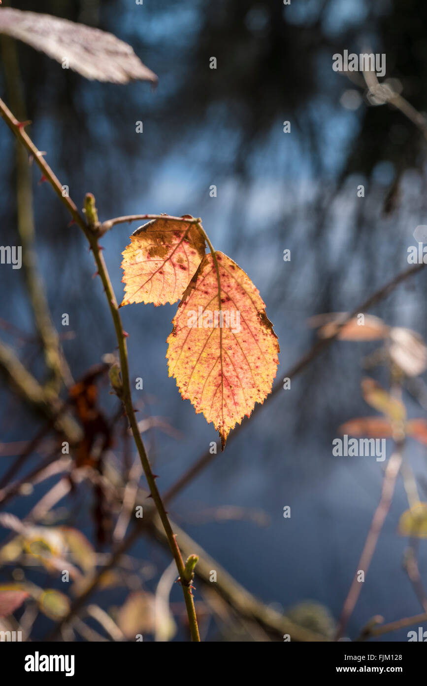 backlit-dead-bramble-leaves-showing-colo