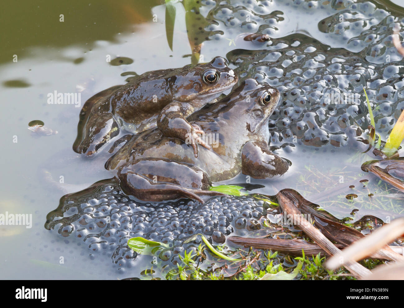 frogs-and-frog-spawn-in-garden-pond-nort