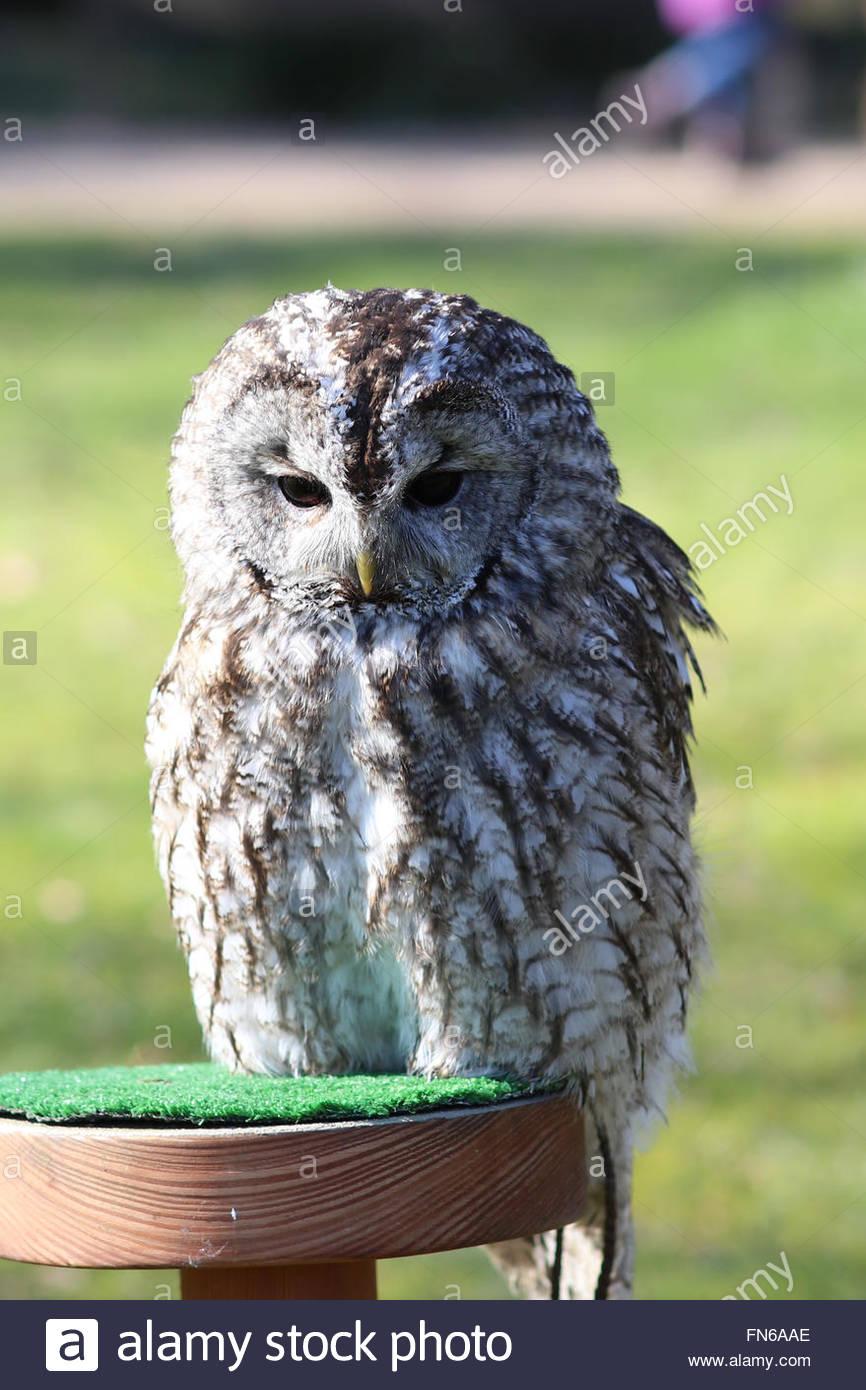 tawny-owl-strix-aluco-greifvogelstation-gut-leidenhausen-cologne-porz-FN6AAE.jpg