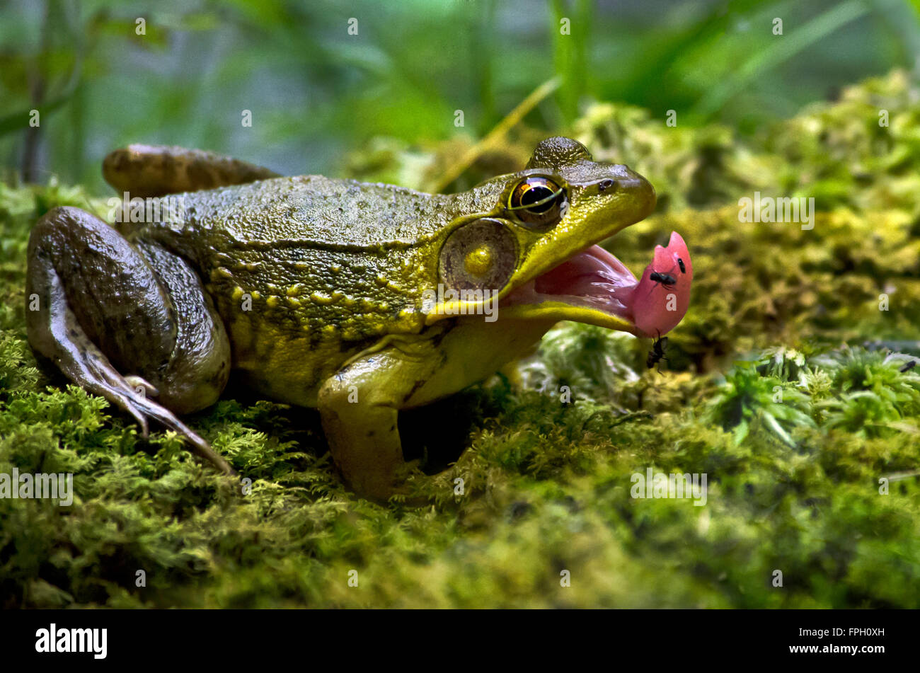 Frog catching flies with mouth open close up Stock Photo ...