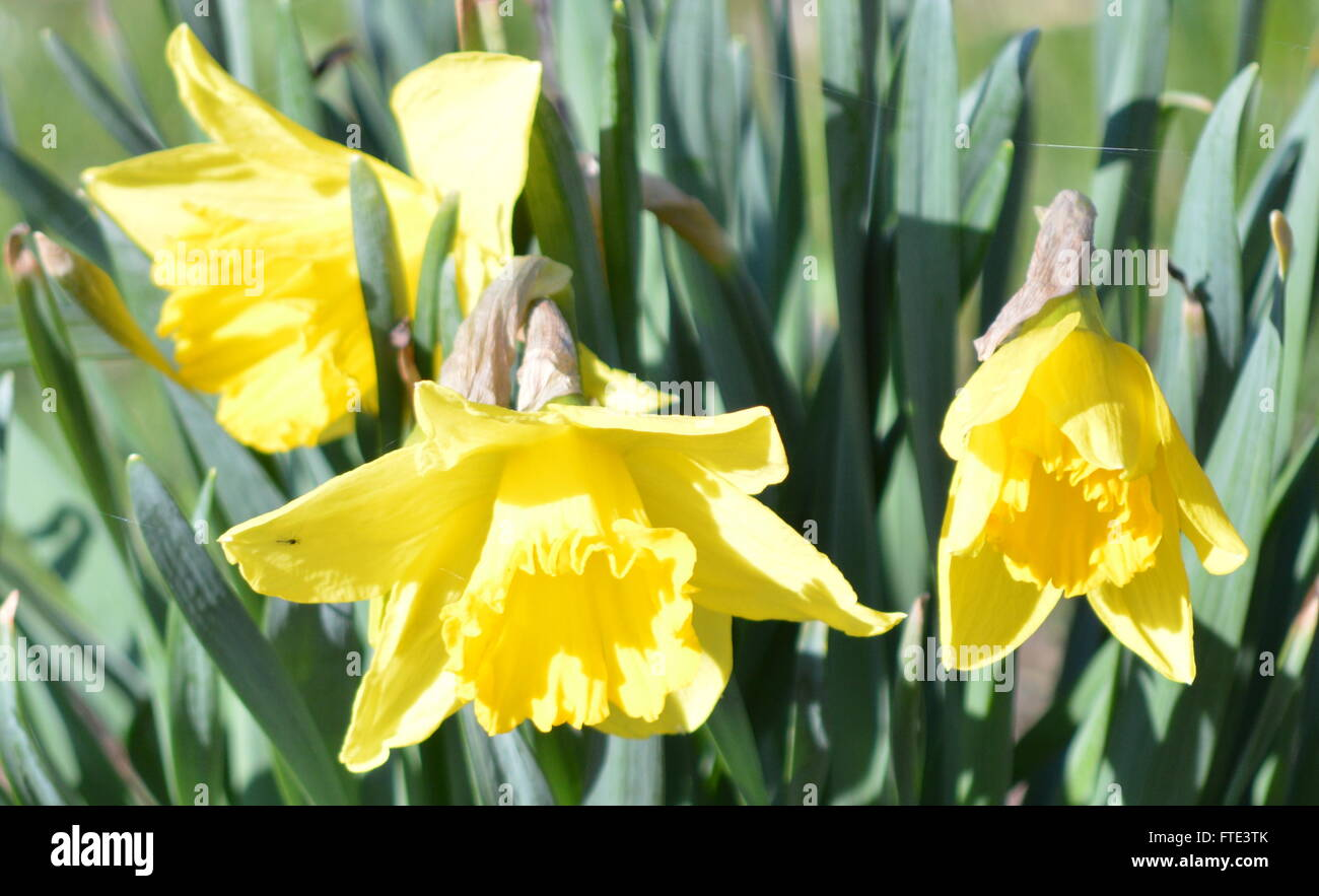 yellow-daffodils-hanging-down-fully-bloo