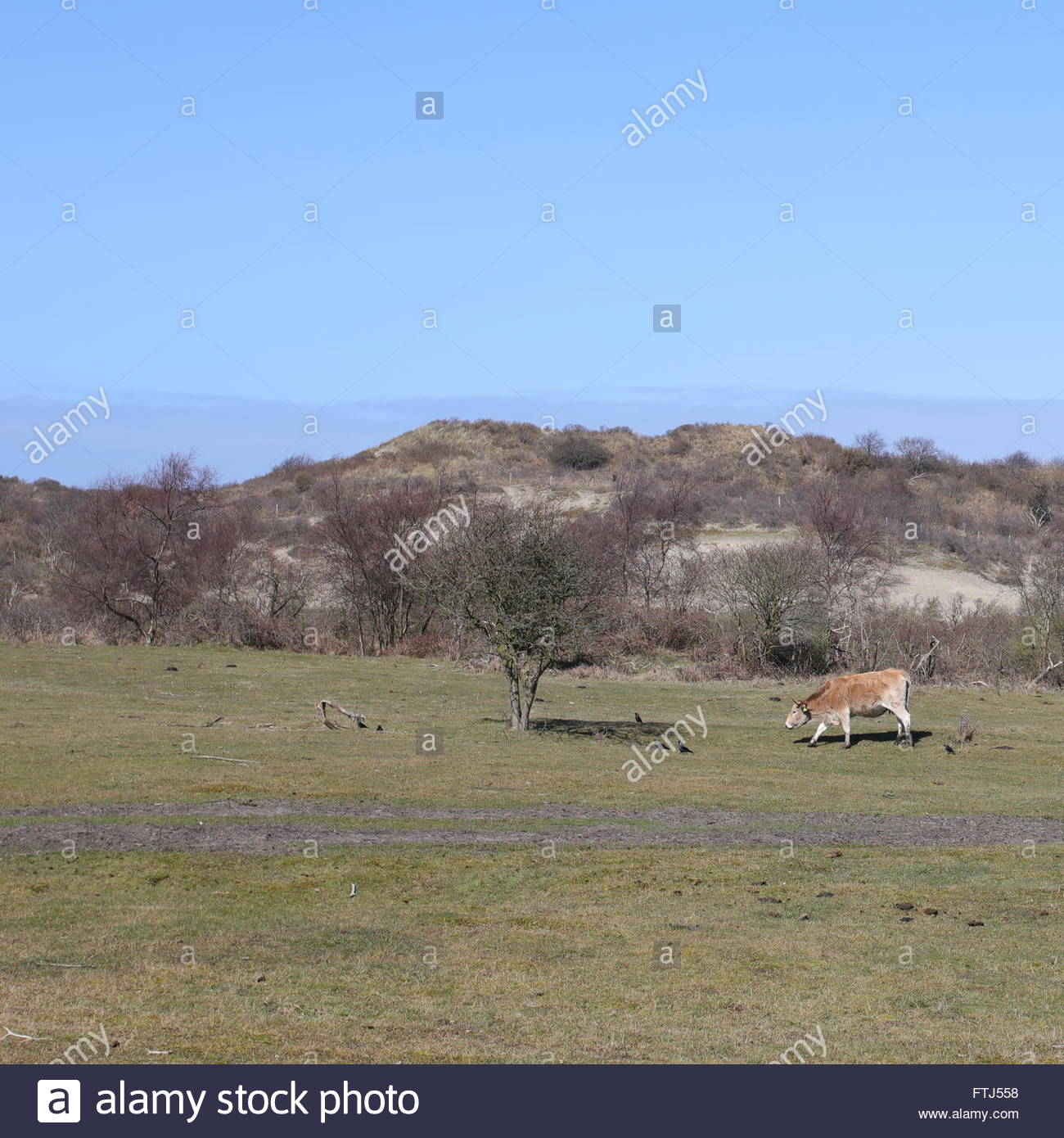 solitaire-cow-on-wide-and-large-field-cr