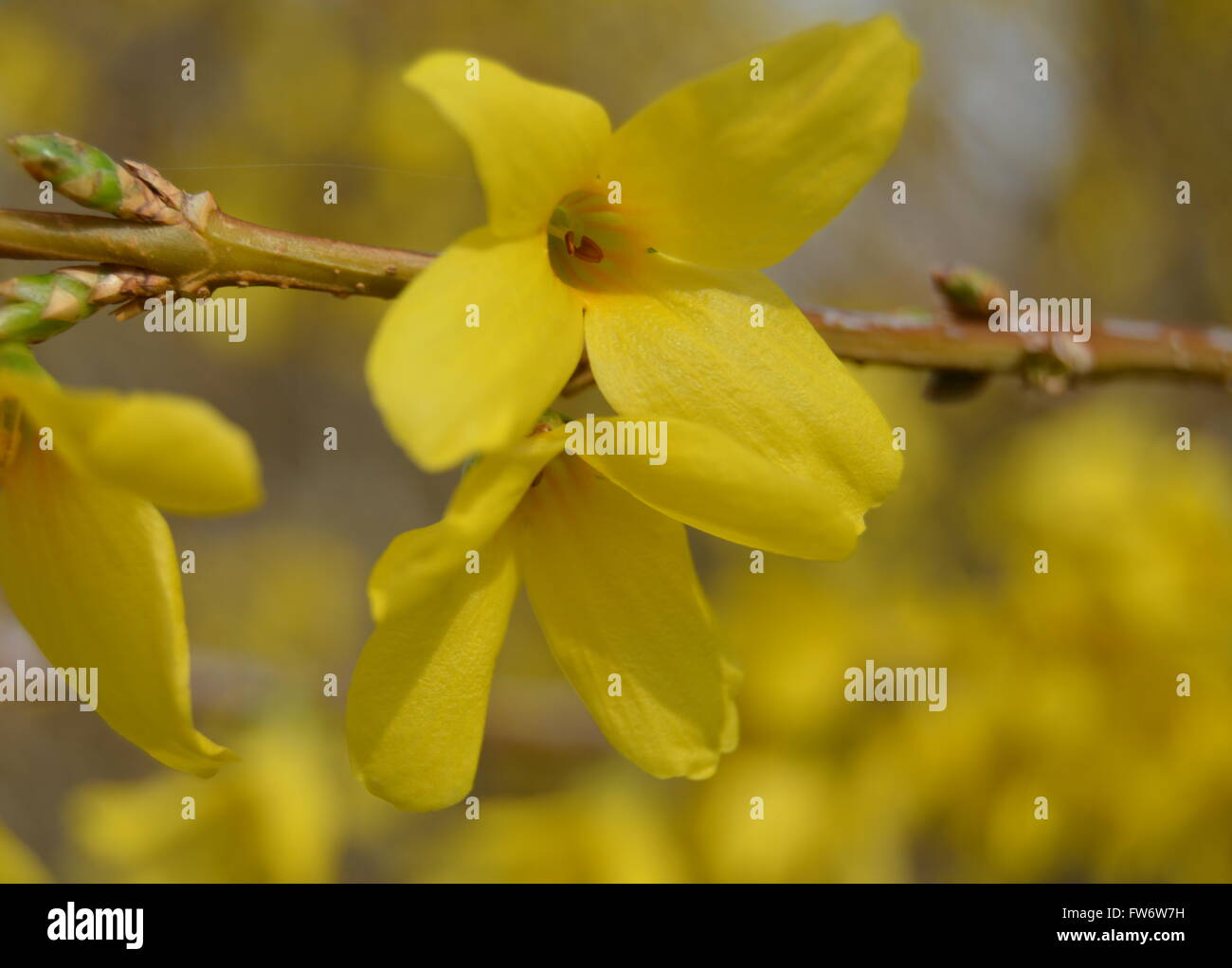 two-forsythia-blooms-with-blurred-backgr