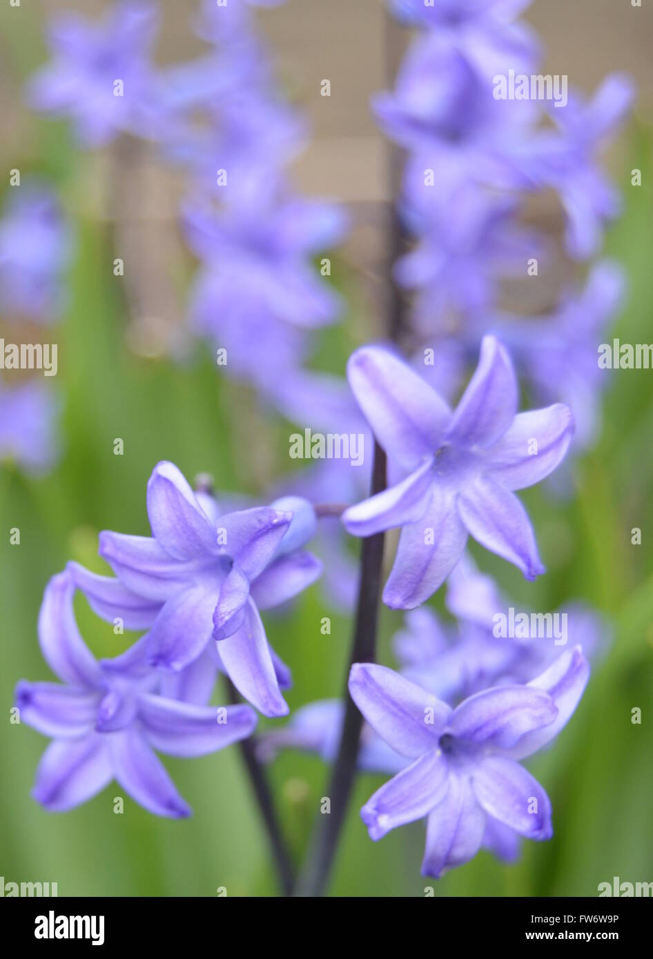 hyacinths-with-a-brown-background-FW6W9P