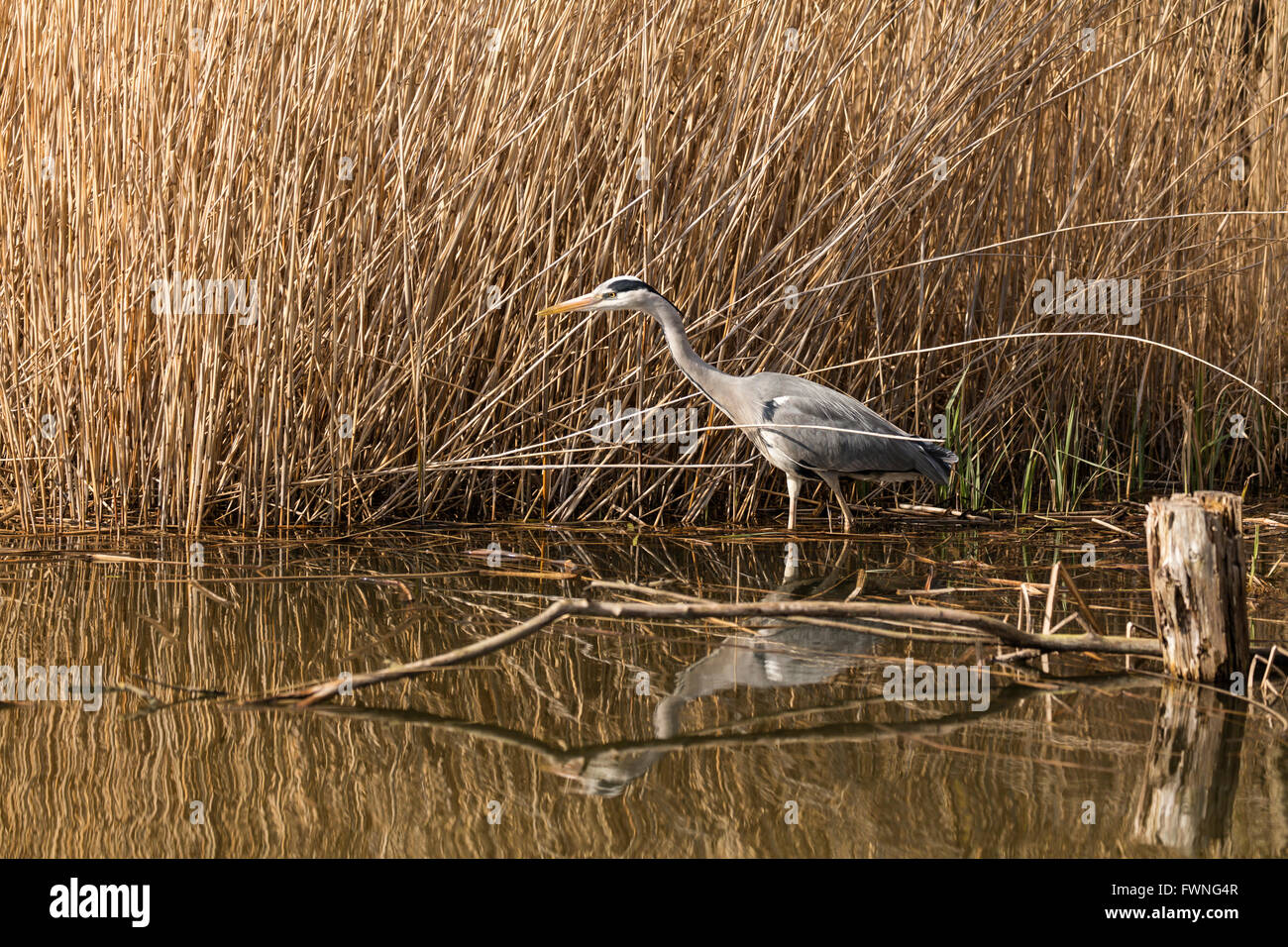 Grey Heron Standing In The Water Of A Pond Next To Reeds And With A Stock Photo Royalty Free