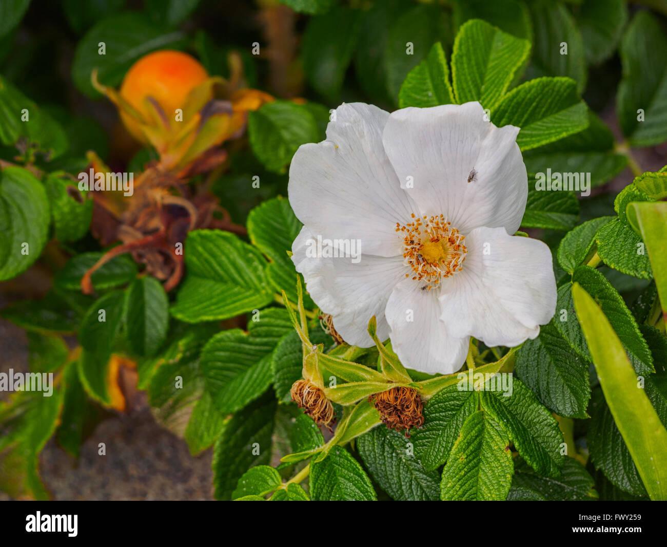 white-rosa-rugosa-beach-rose-and-rose-hi