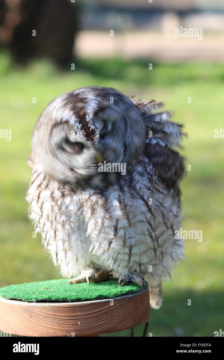 tawny-owl-strix-aluco-violently-shaking-