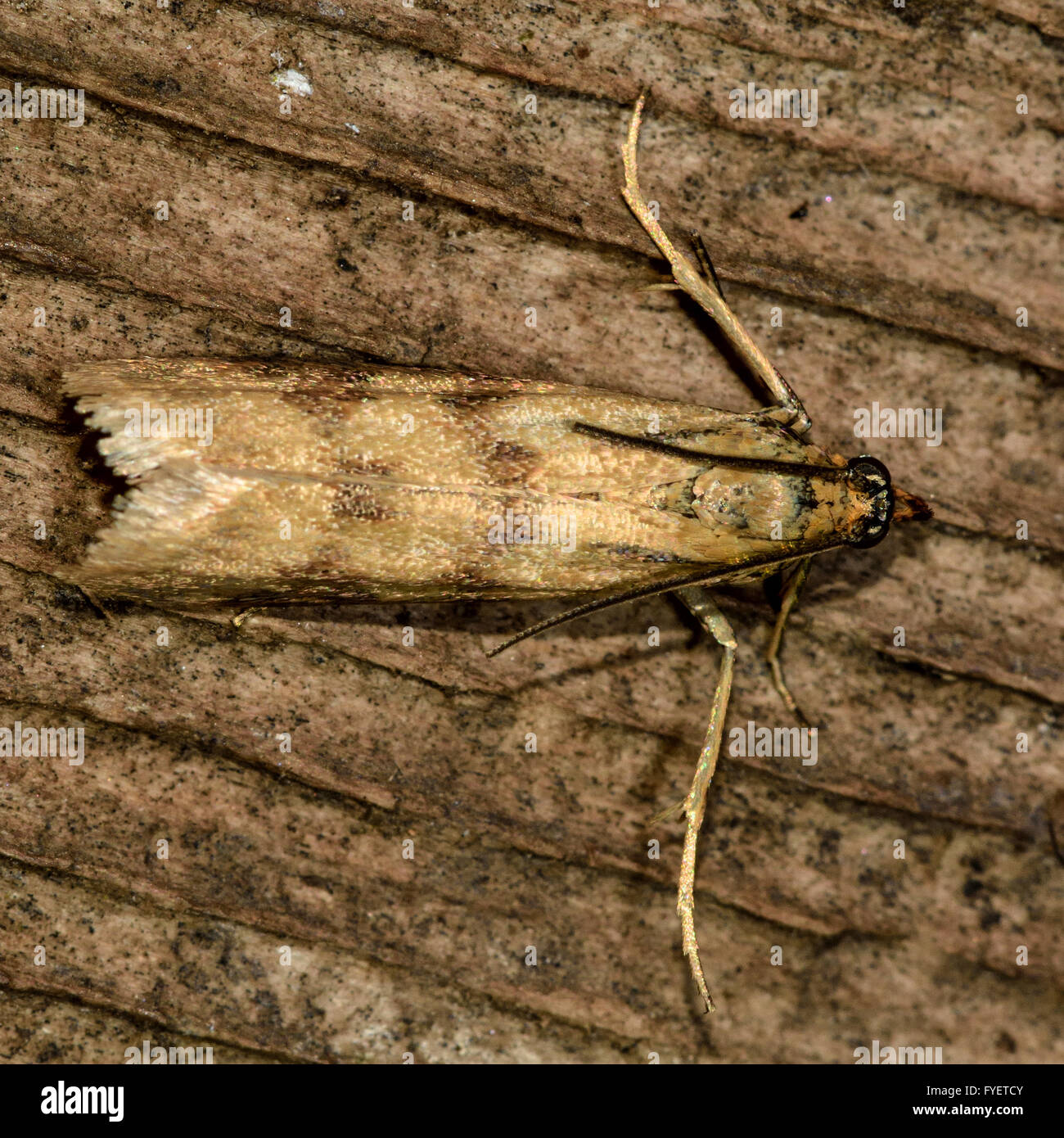 Family Pyralidae (Pyralid Moths)   Butterflies and Moths ...