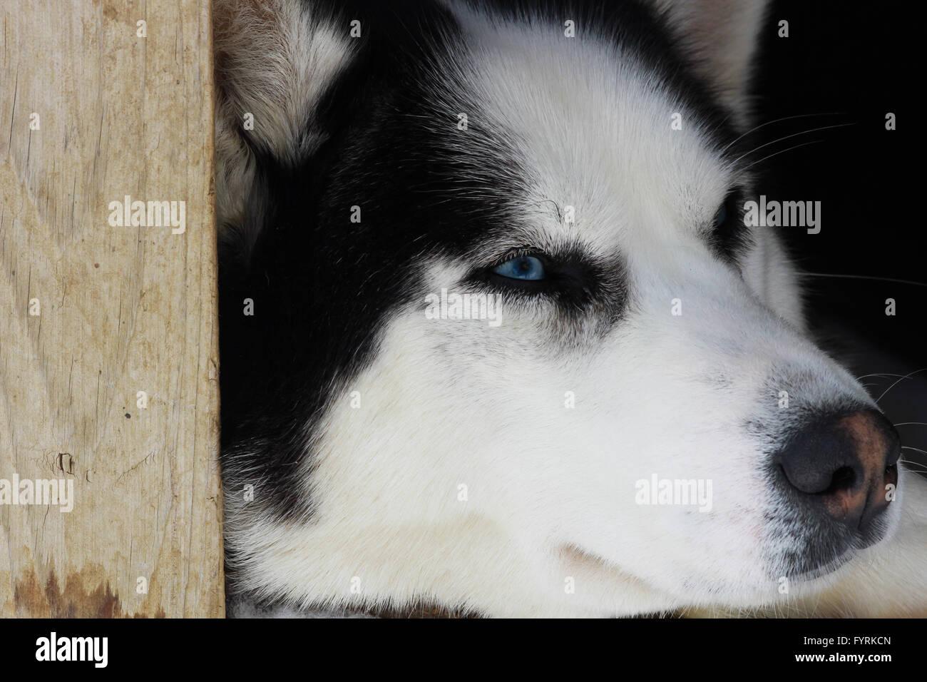 Siberian Husky Quebec A pregnant husk...