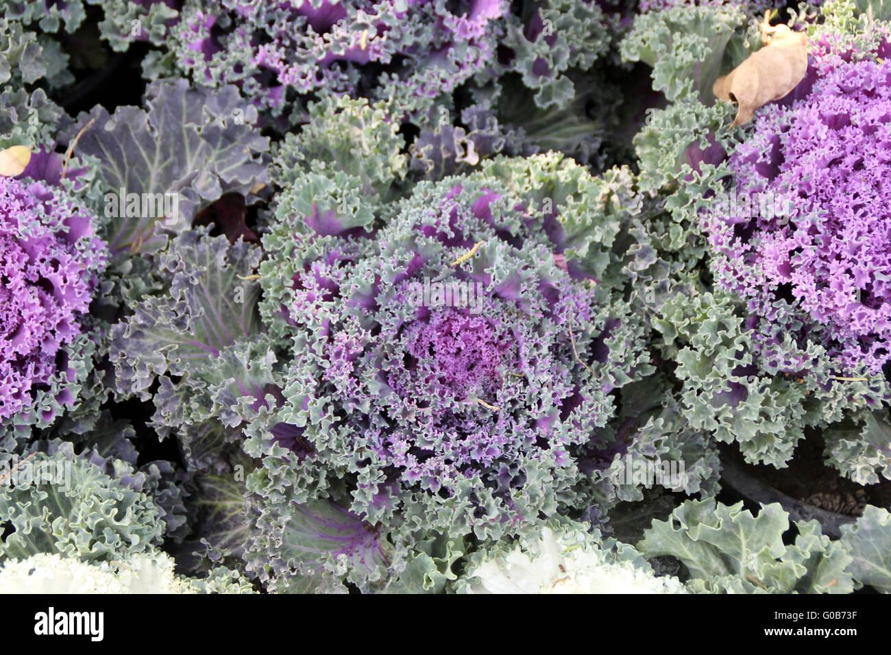 ornamental kale brassica oleracea var sabellica. Black Bedroom Furniture Sets. Home Design Ideas