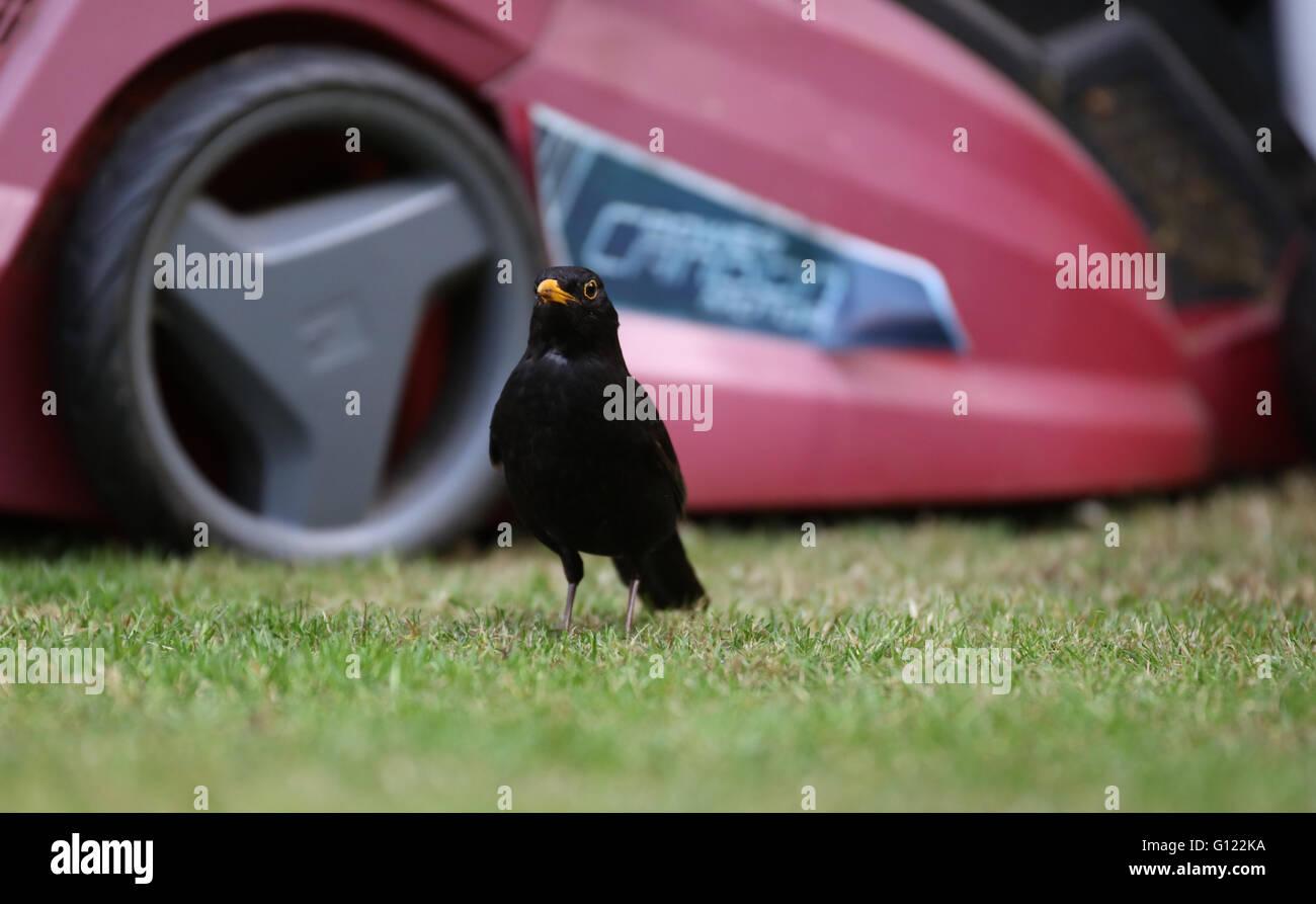 common-blackbird-turdus-merula-male-low-