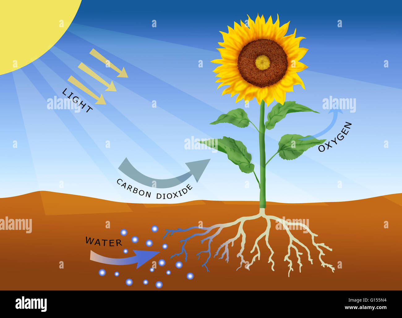 describe the process of photosynthesis essay In summary, photosynthesis is a process in which light energy is converted to chemical energy and used to produce organic compounds in plants, photosynthesis typically occurs within the chloroplasts located in plant leaves .