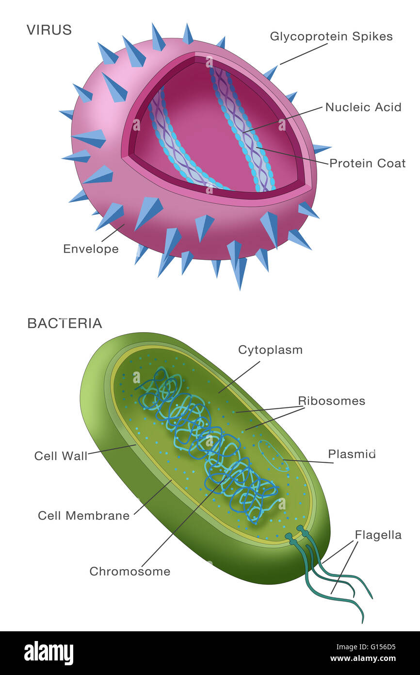 Diagram showing typical examples of a virus particle ...