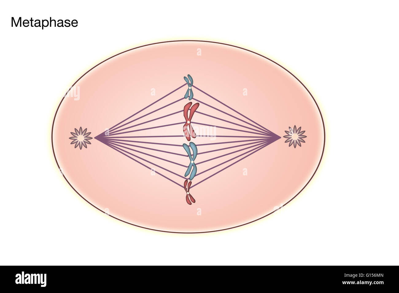 diagram of metaphase of mitosis in an animal cell stock