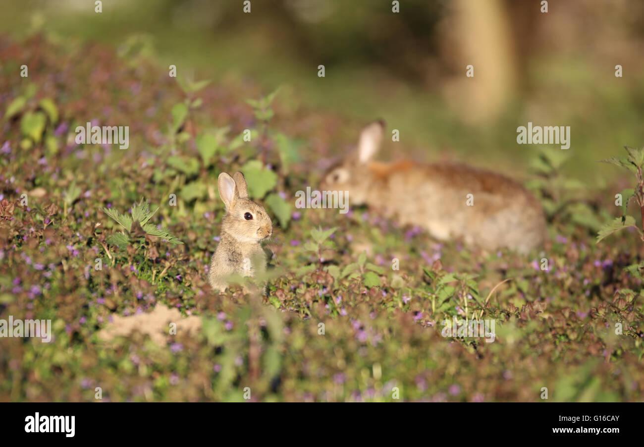 european-wild-rabbit-oryctolagus-cunicul