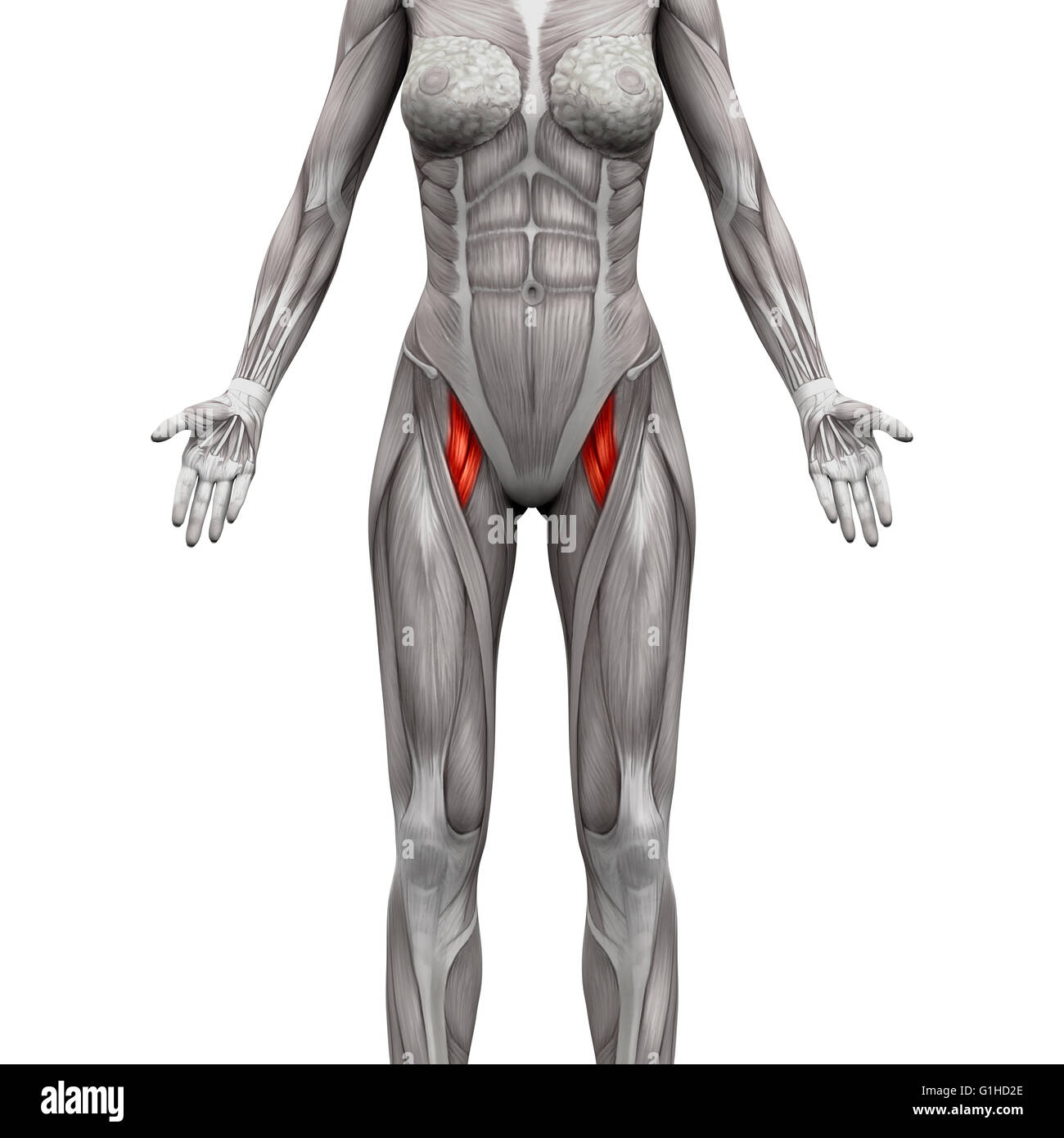 Adductor muscle anatomy