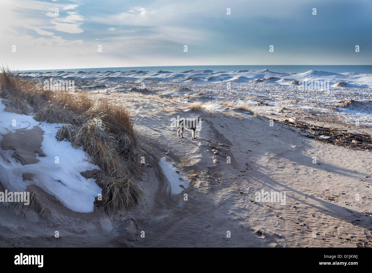 standard-poodle-stands-in-the-sand-on-the-beach-of-a-frozen-lake-huron-G1JKWJ.jpg