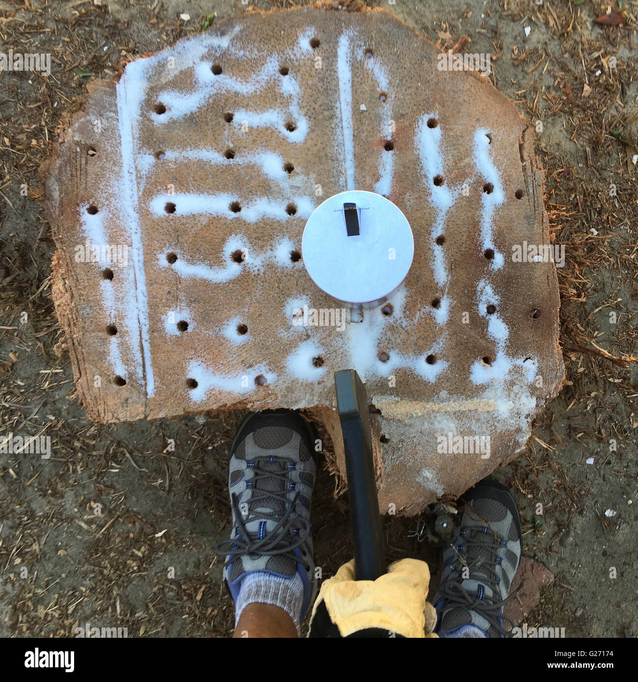 female-drills-holes-into-a-palm-tree-stu
