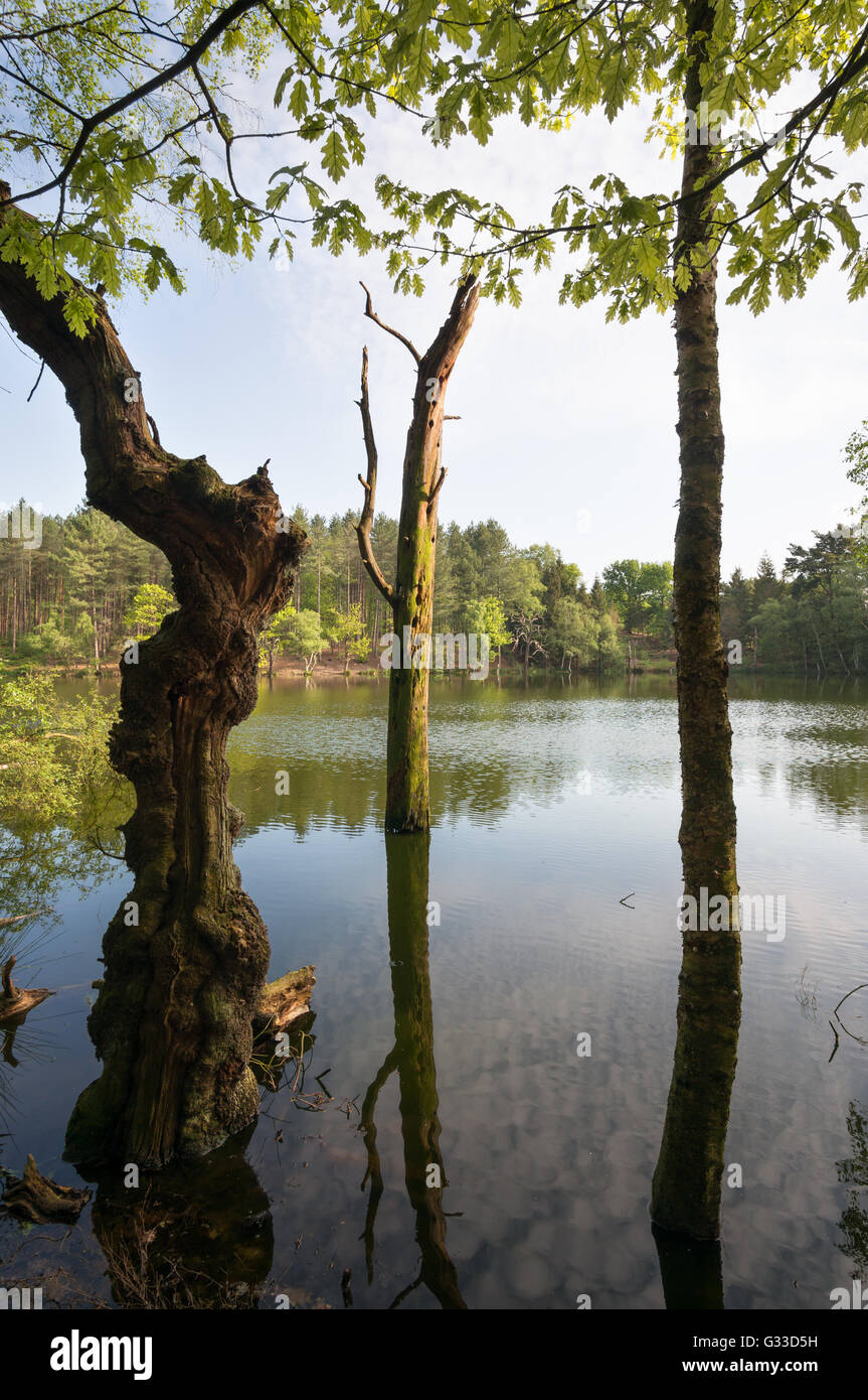 dying-tree-in-dead-lake-delamere-forest-