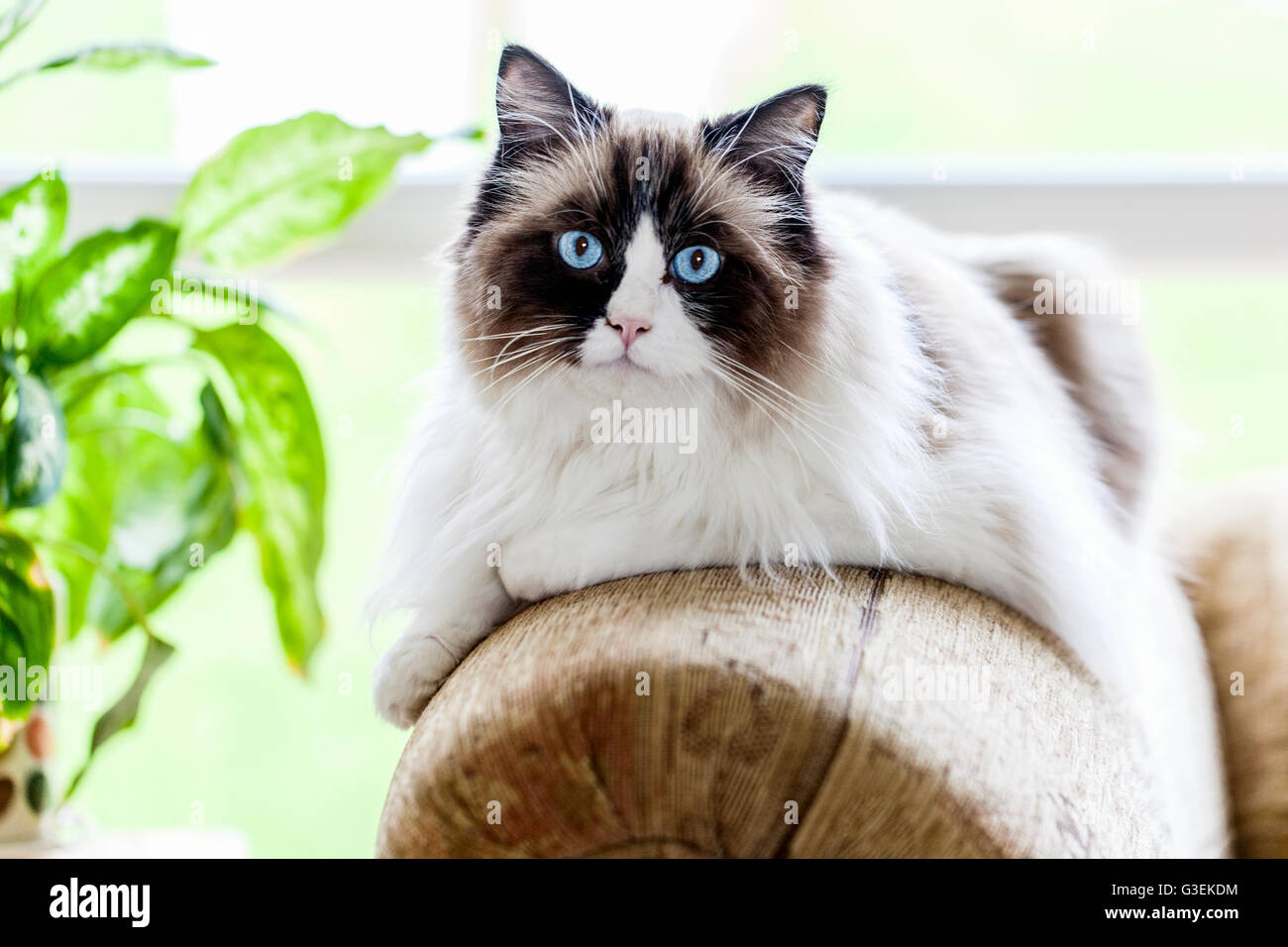 a-blue-eyed-ragdoll-cat-sitting-calmly-o