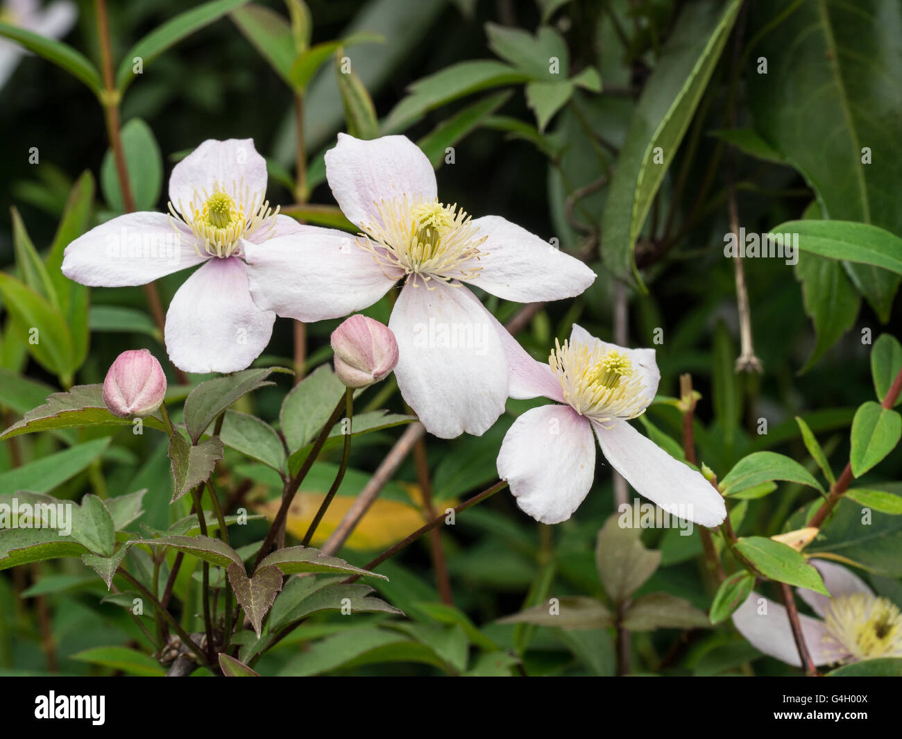 Clematis Pink Perfection flowers Stock Royalty Free Image 1