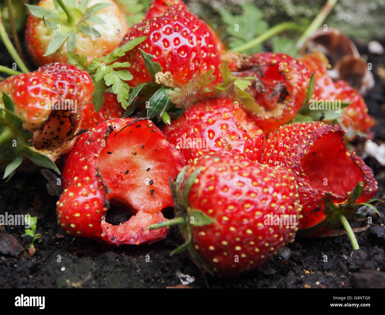 ruined-garden-strawberries-eaten-by-pests-G4NTGX.jpg