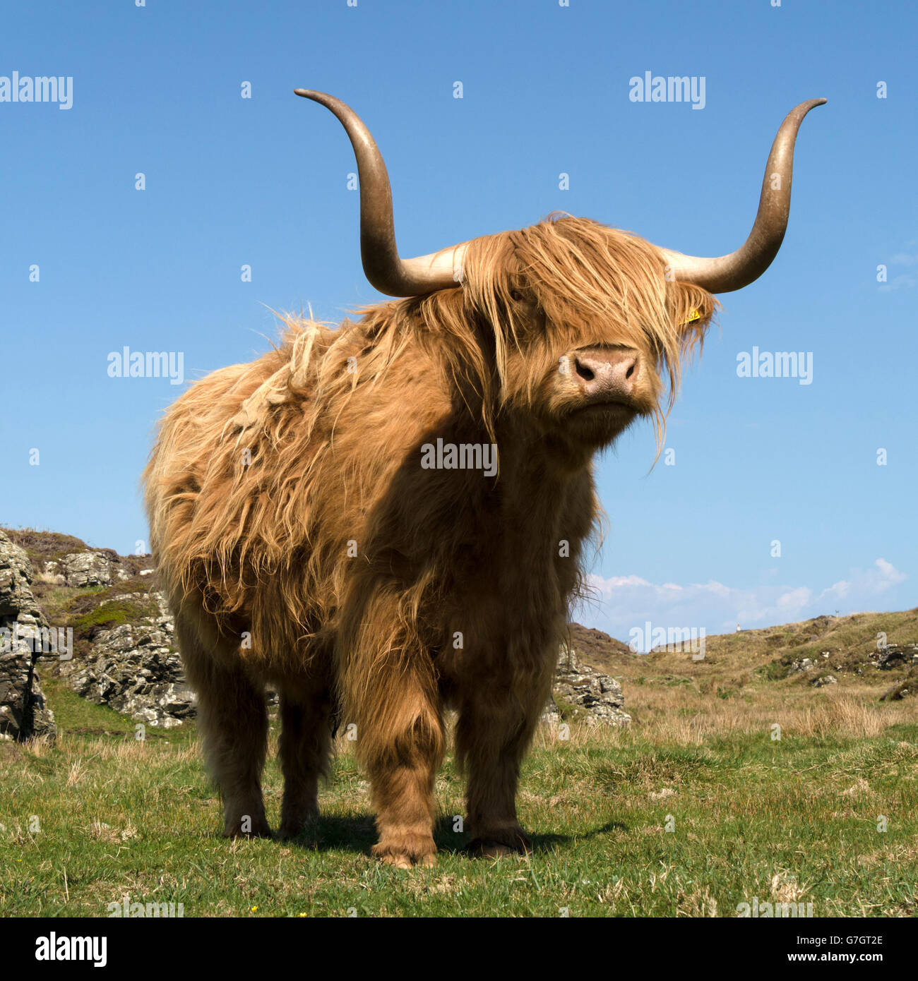 scottish-highland-cow-isle-of-colonsay-s