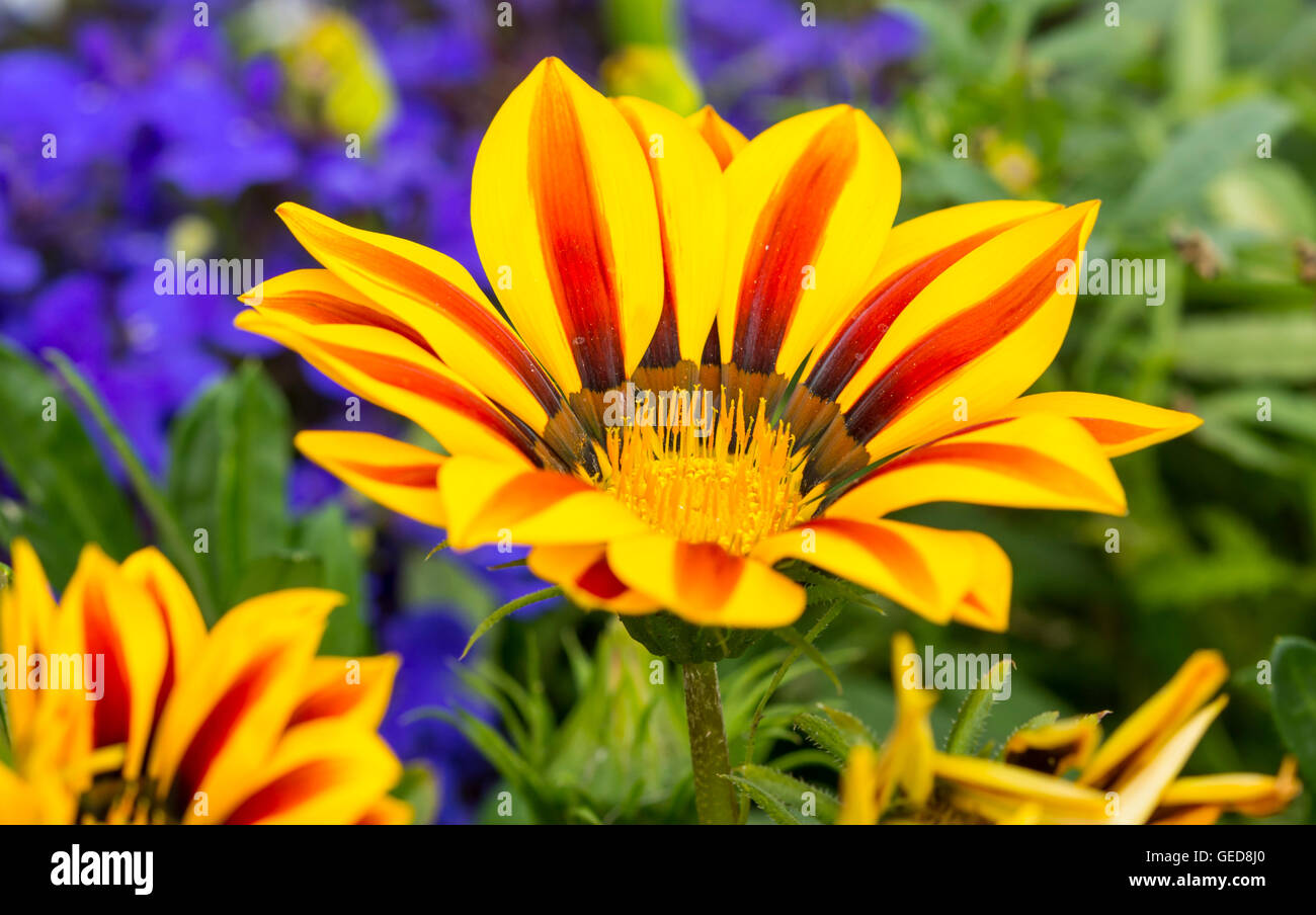 Gazania rigens plant growing in Summer in the UK. Stock Photo