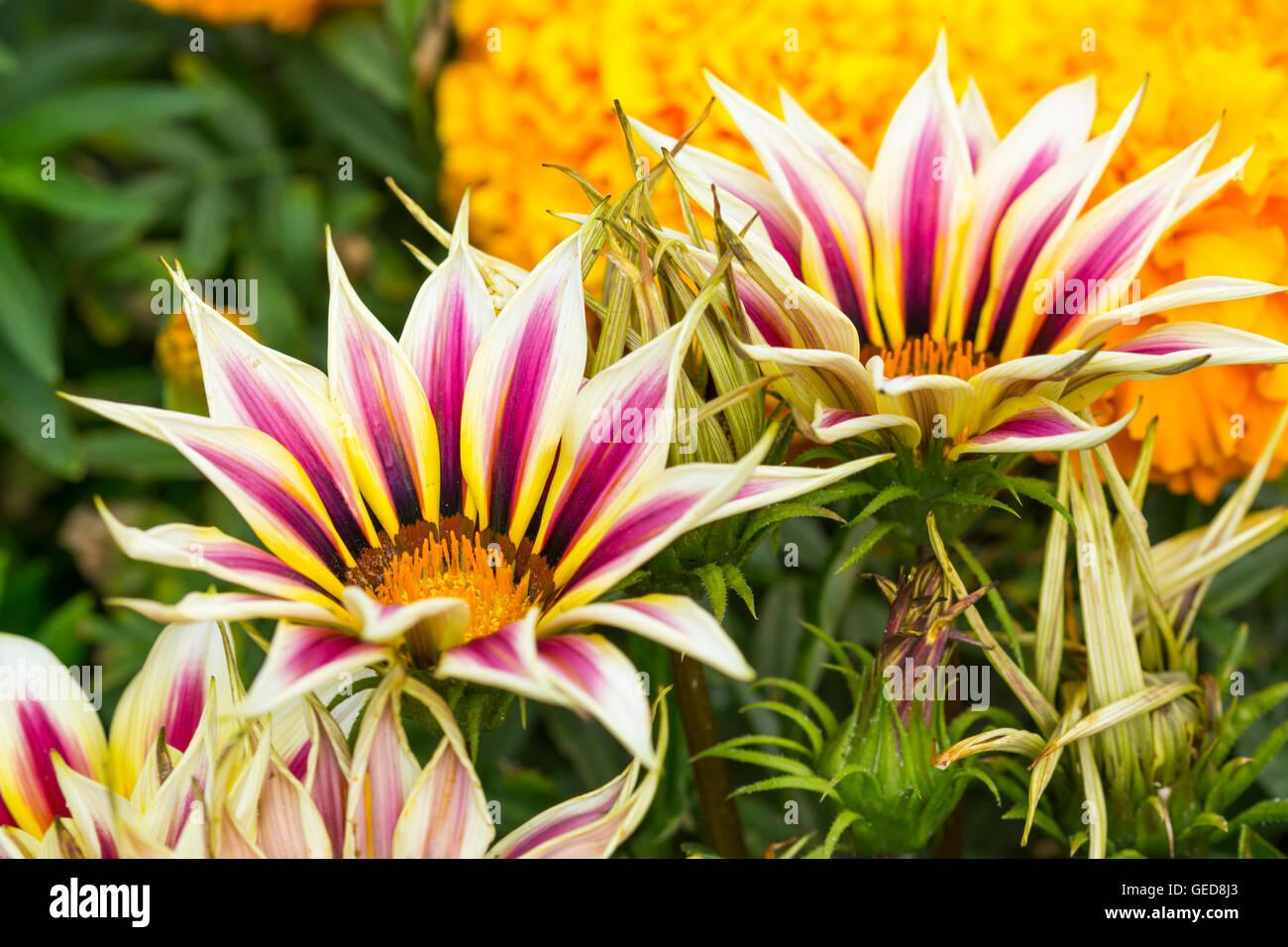 Gazania rigens ornamental garden plant, growing in the UK in Summer. Stock Photo
