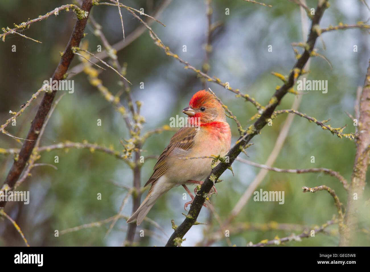 common-rosefinch-scarlet-rosefinch-carpo