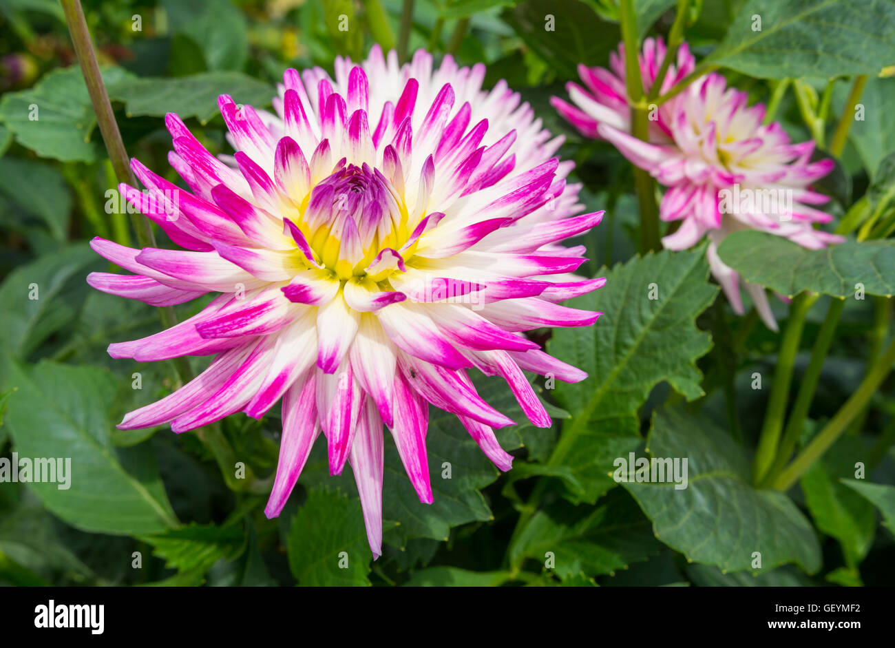 Pink and white Dahlia hybrida flower growing in Summer in the UK. Stock Photo