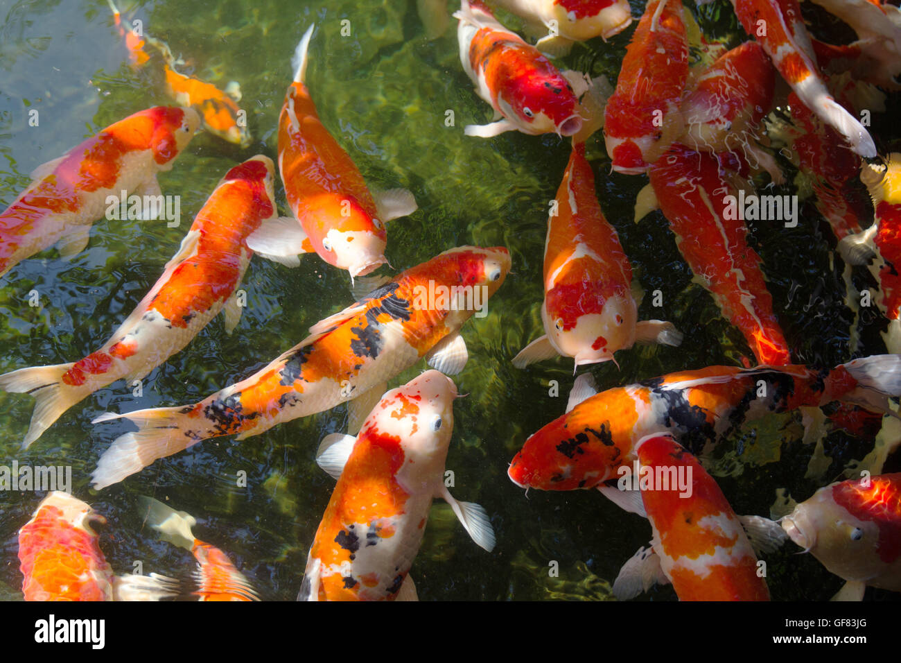 Carp koi fish orange color in pond stock photo royalty for Carpe koi orange