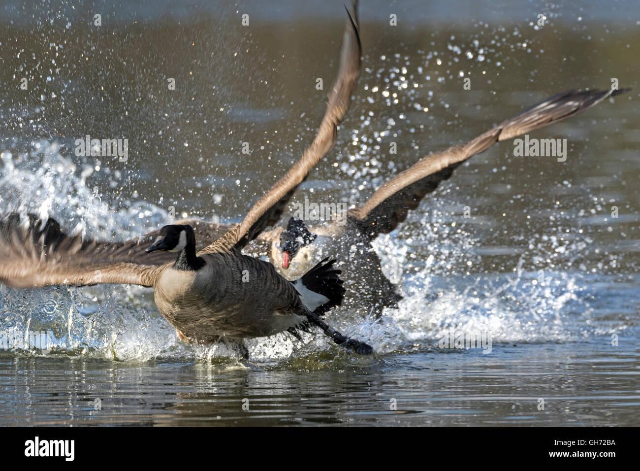 Canada goose (Branta canadensis) in action, Hamburg, Germany, Europe Stock Photo