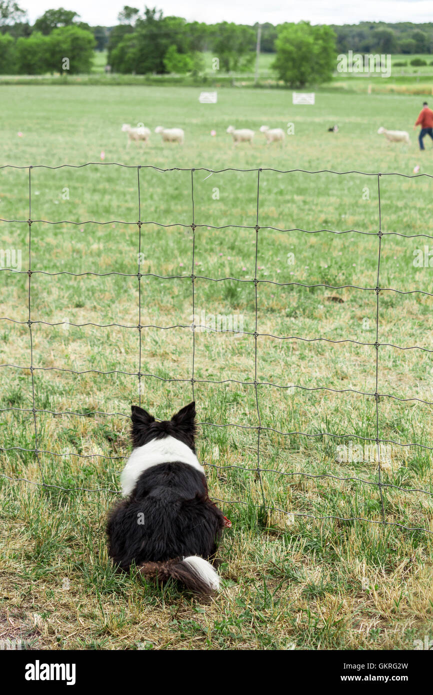 border-collie-watches-another-dog-herdin