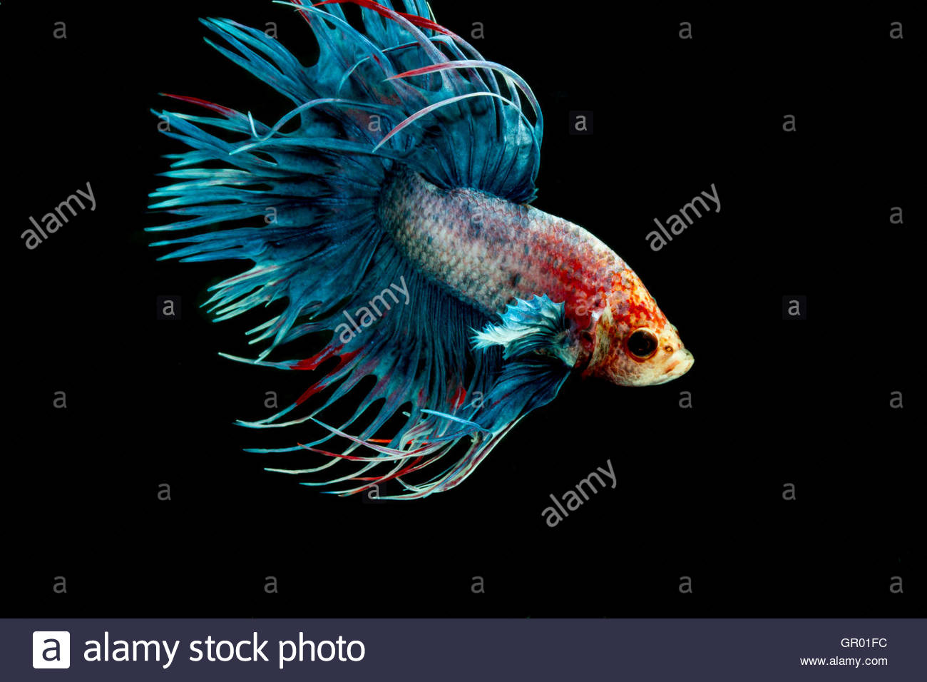 Betta fish crown tail or siamese fighting fish on black for Crown betta fish