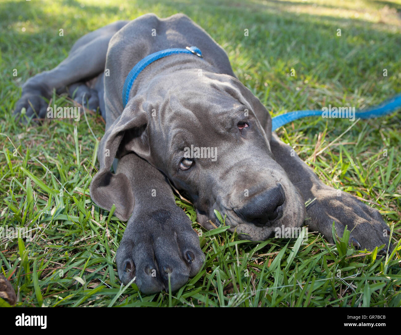 blue great dane puppy on the grass that looks like it has. Black Bedroom Furniture Sets. Home Design Ideas