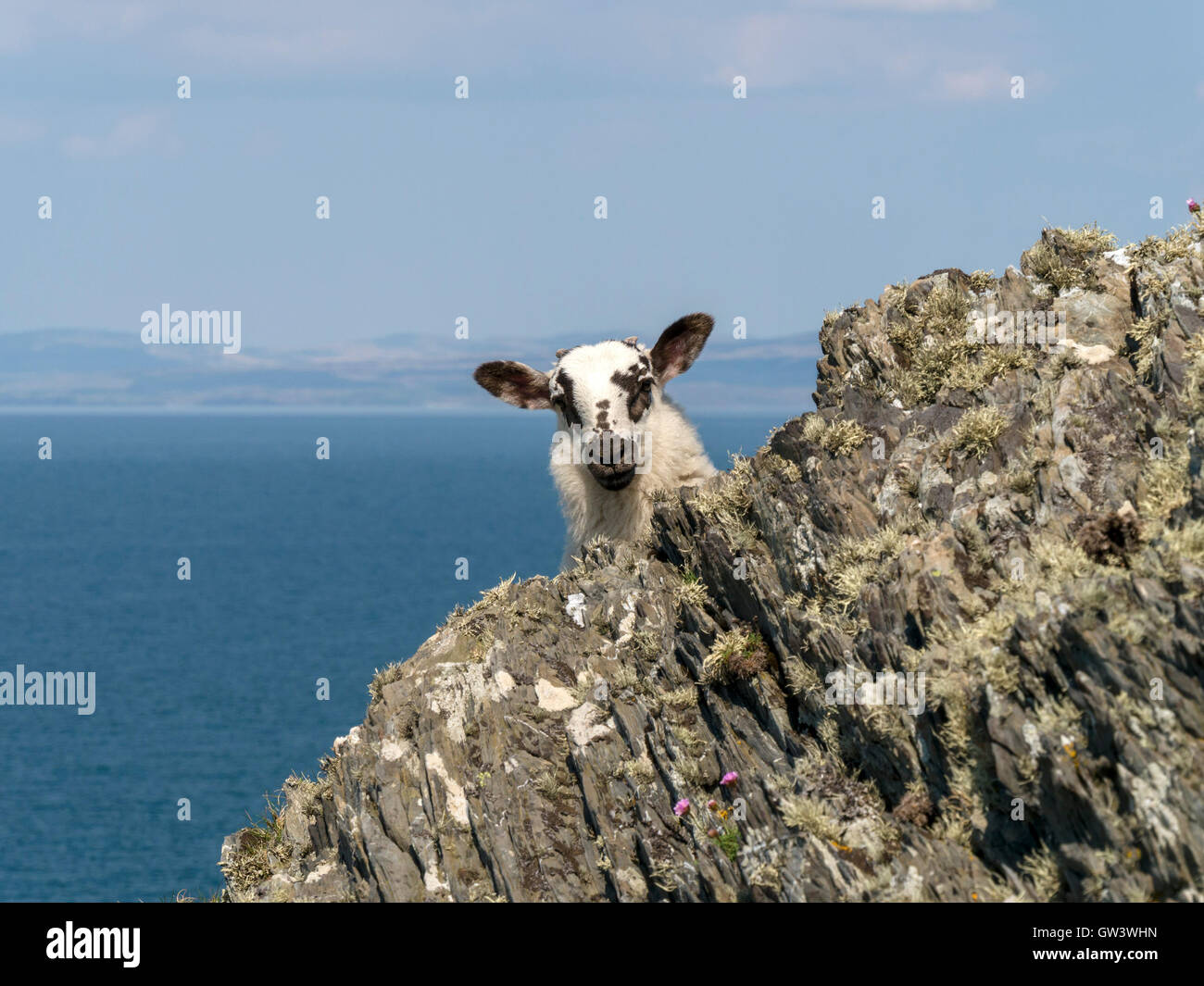 young-lamb-with-big-ears-peeping-around-
