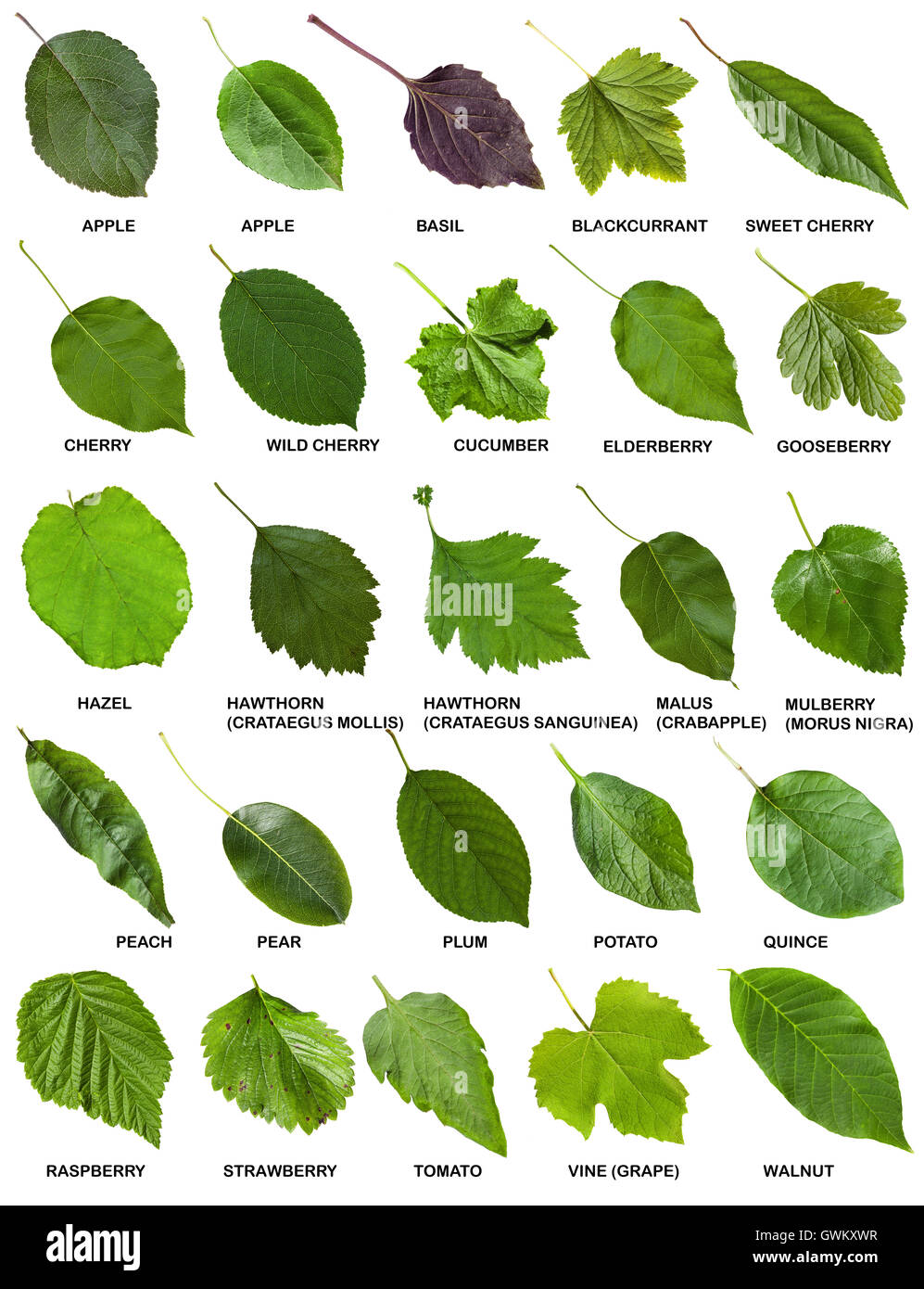 set of green leaves of trees and shrubs with names clipart apple tree clip art apple tree images
