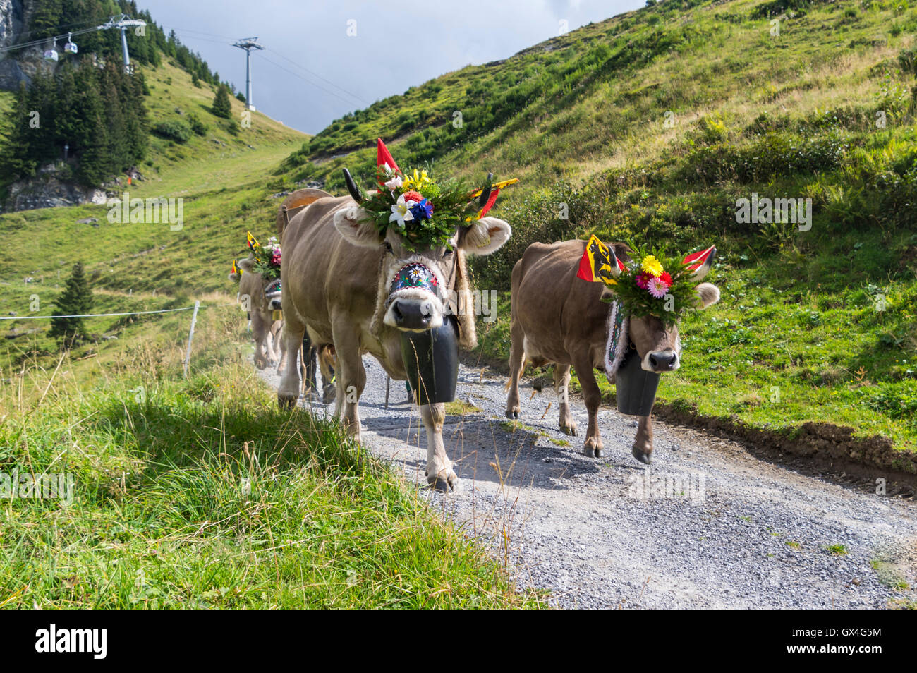 alpabzug-alpine-transhumance-in-switzerl
