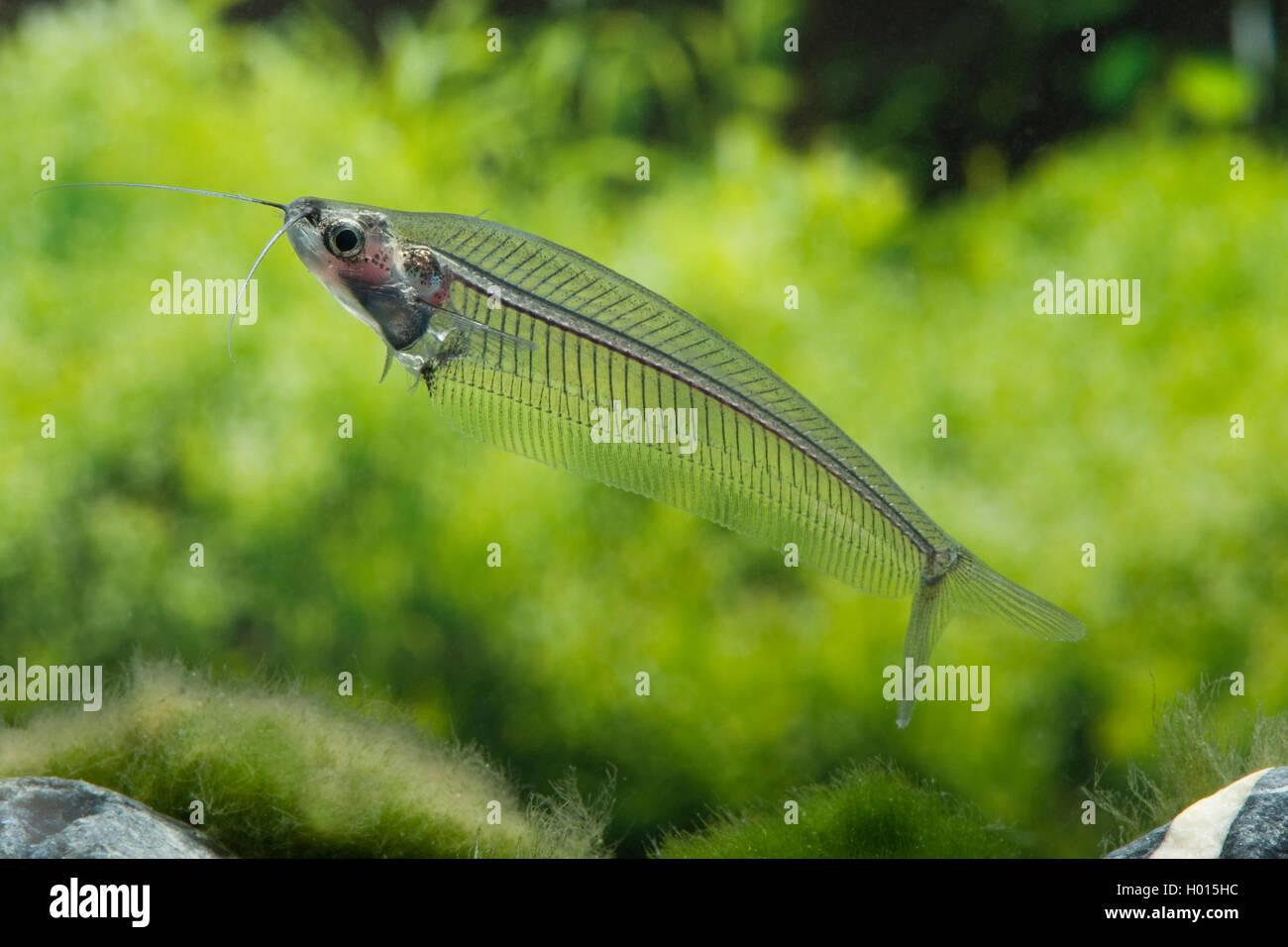 Indischer glaswels kryptopterus vitreolus kryptopterus for Asiatischer zierfisch
