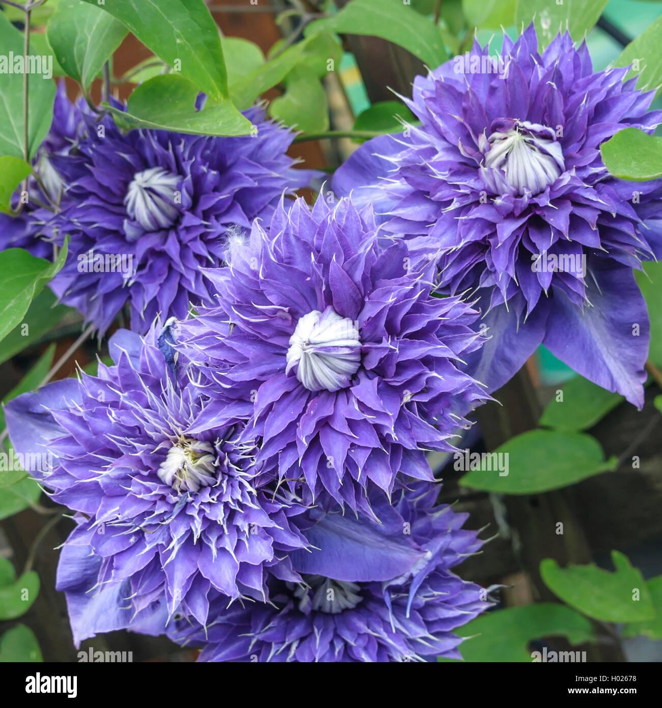 klematis waldrebe multi blue clematis 39 multi blue. Black Bedroom Furniture Sets. Home Design Ideas