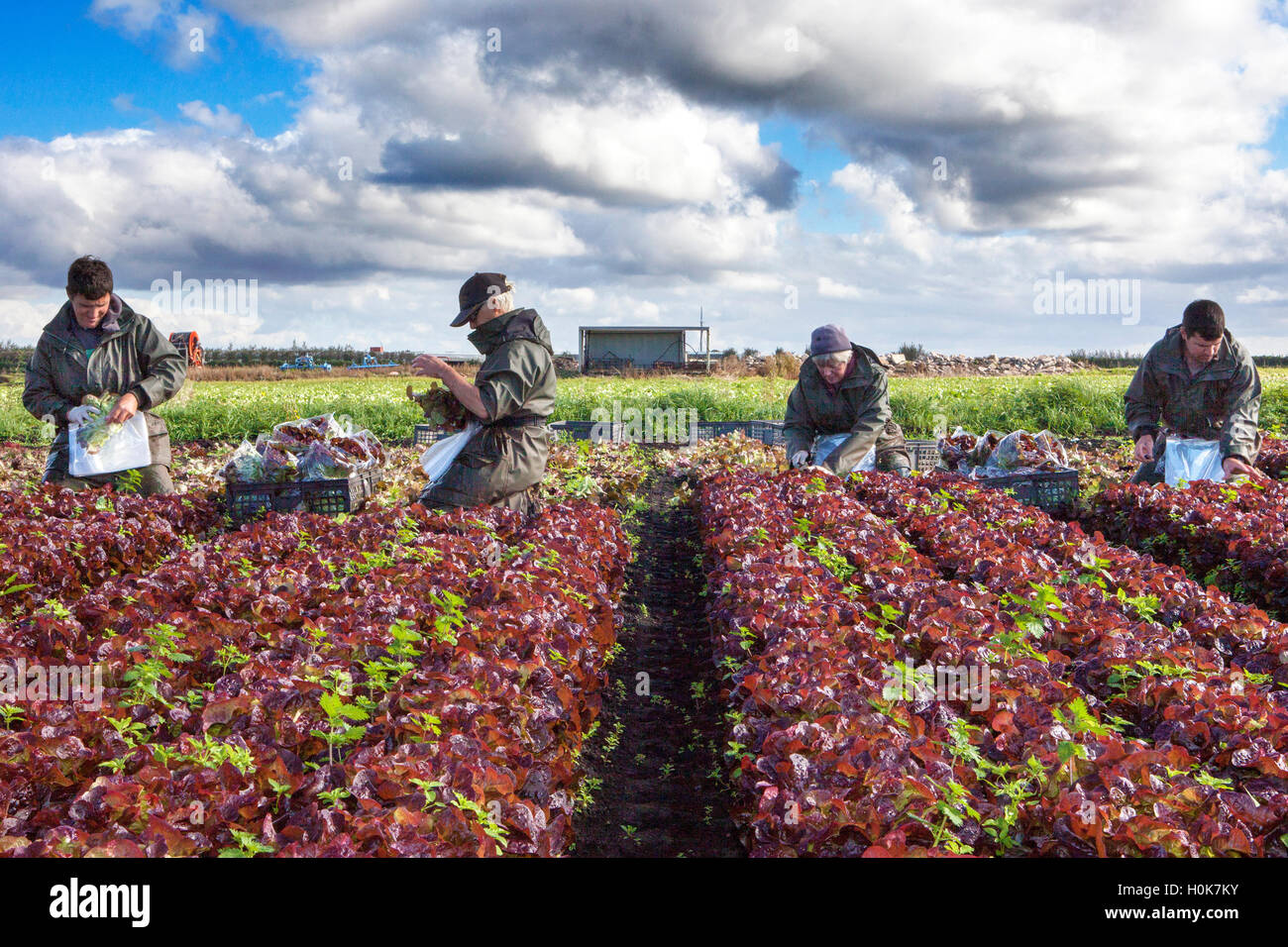 EU Farmer Workers, Tarleton, Lancashire: 22nd Sep 2016.  EU nationals who are seasonal migrant farm labourers, picking Stock Photo